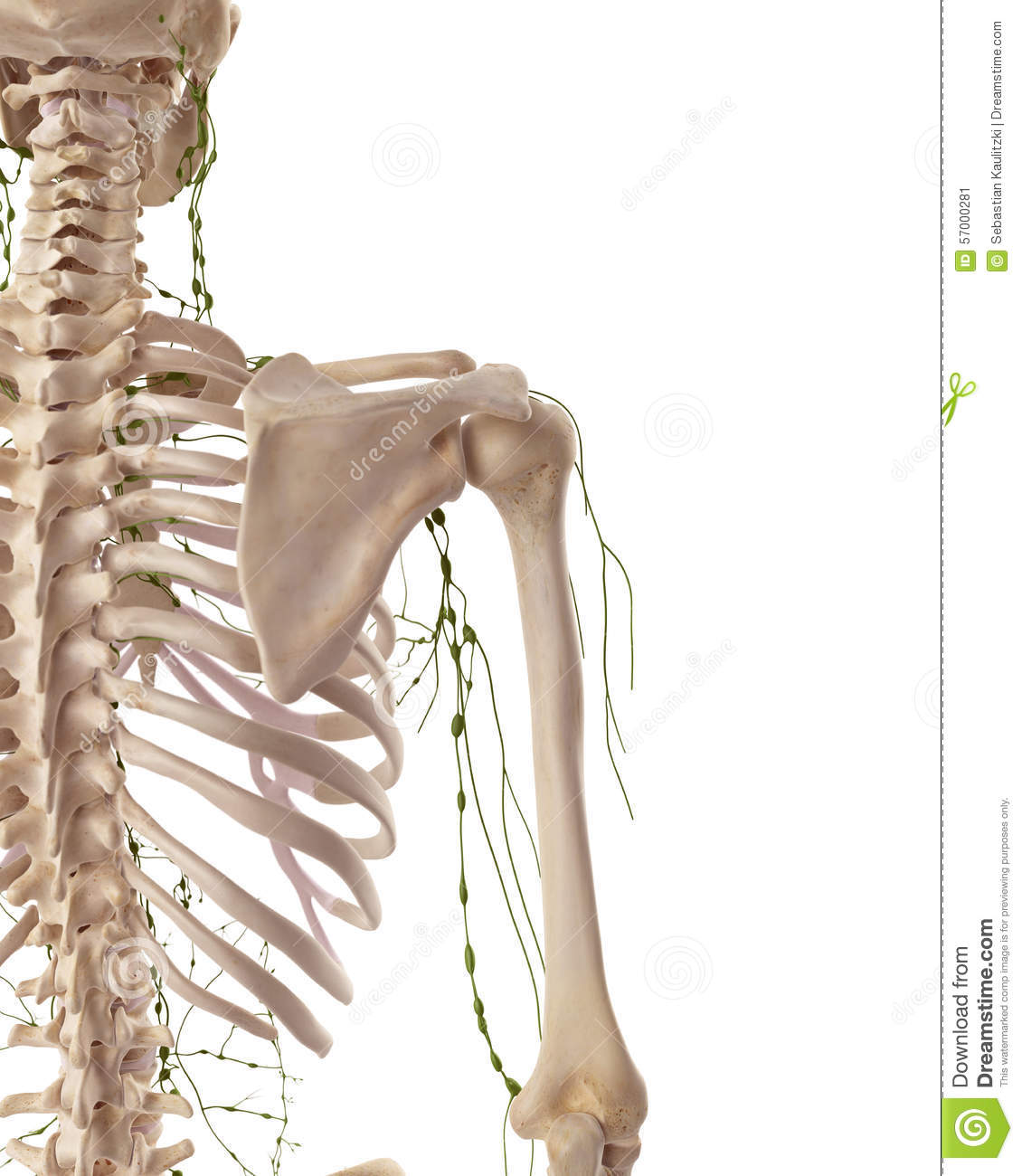 The Axillary Lymph Nodes Stock Illustration Illustration Of