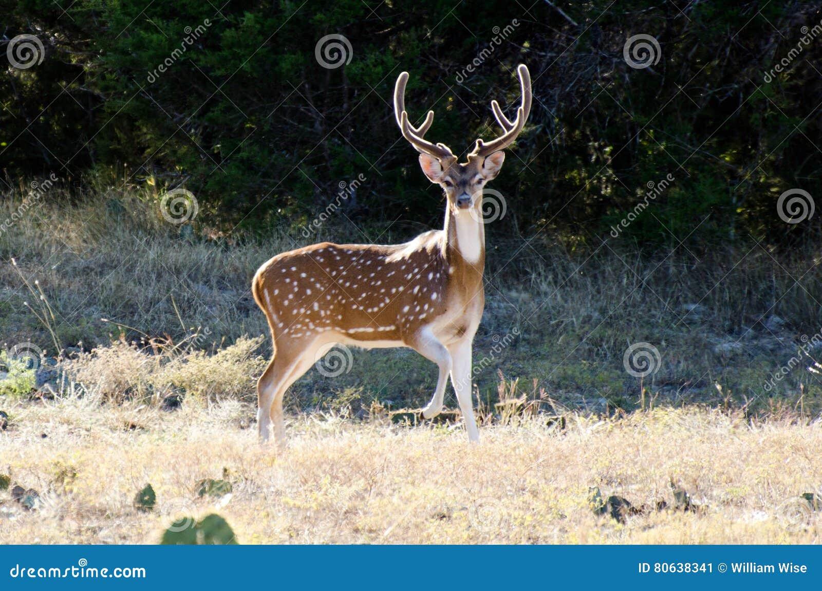 Axis Deer Chital Buck, velvet antlers, Texas Hill Country