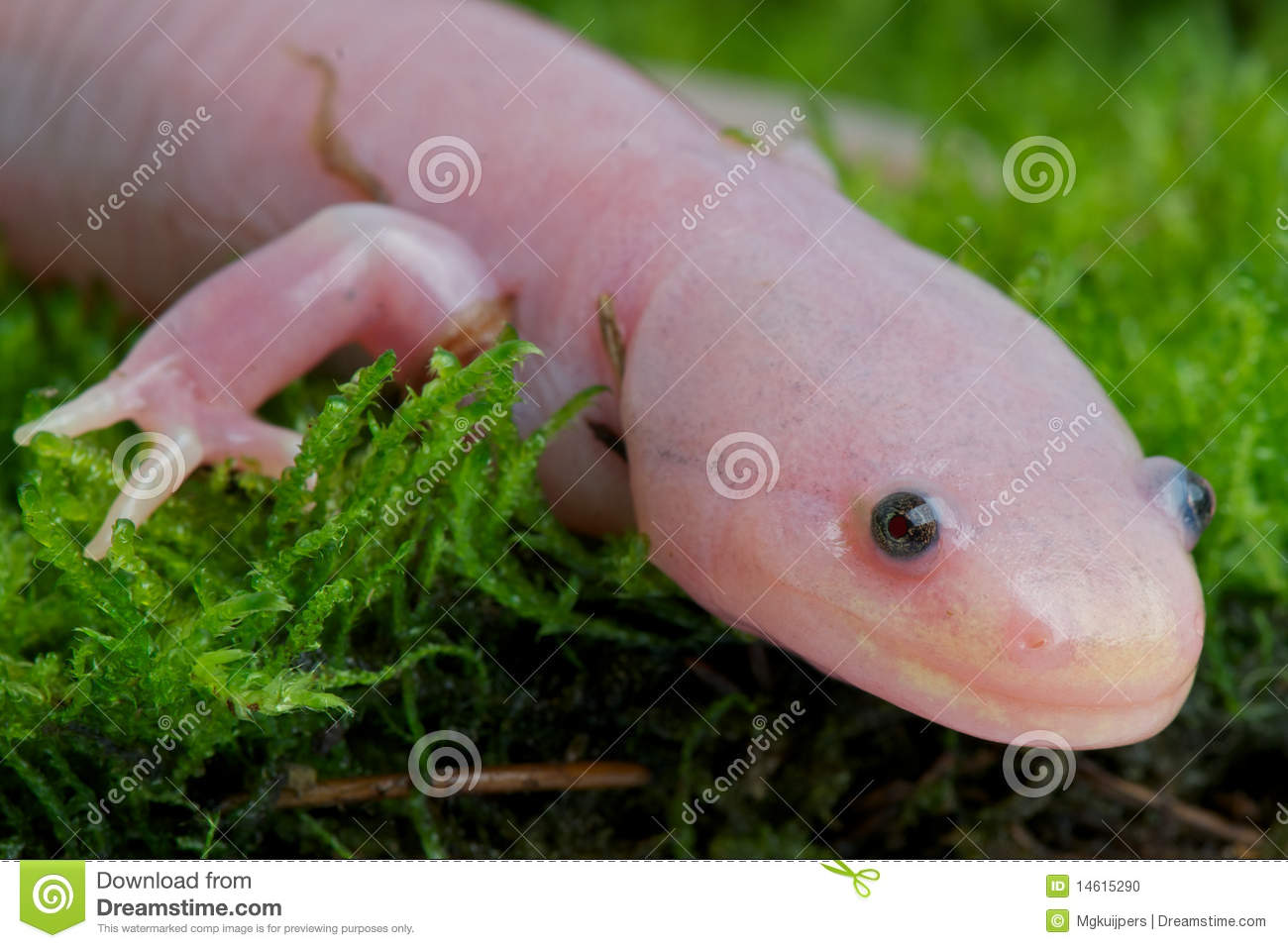The Axolotl normally stays in the larvae stadium its entire live ...