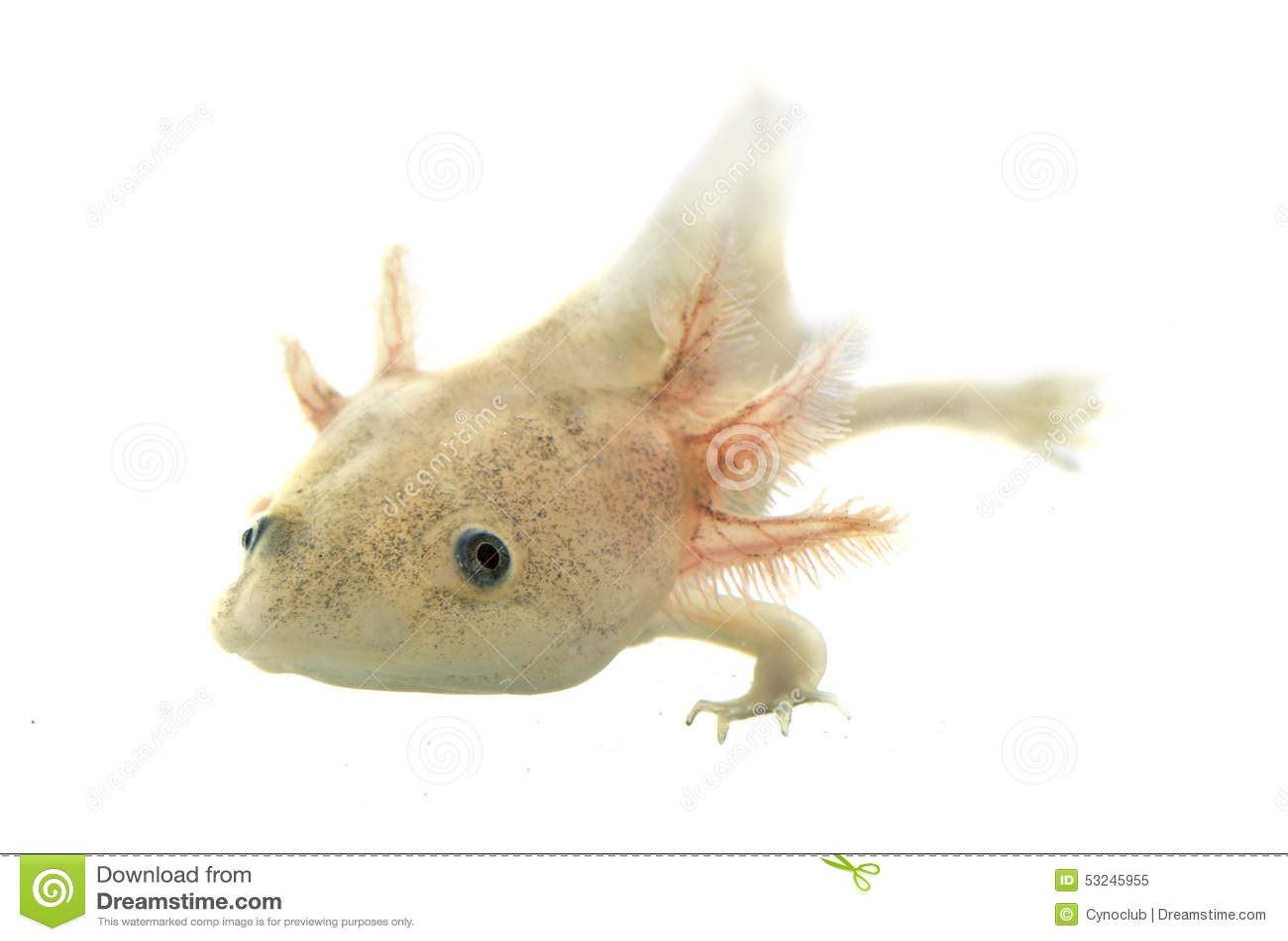 salamander white background - photo #32