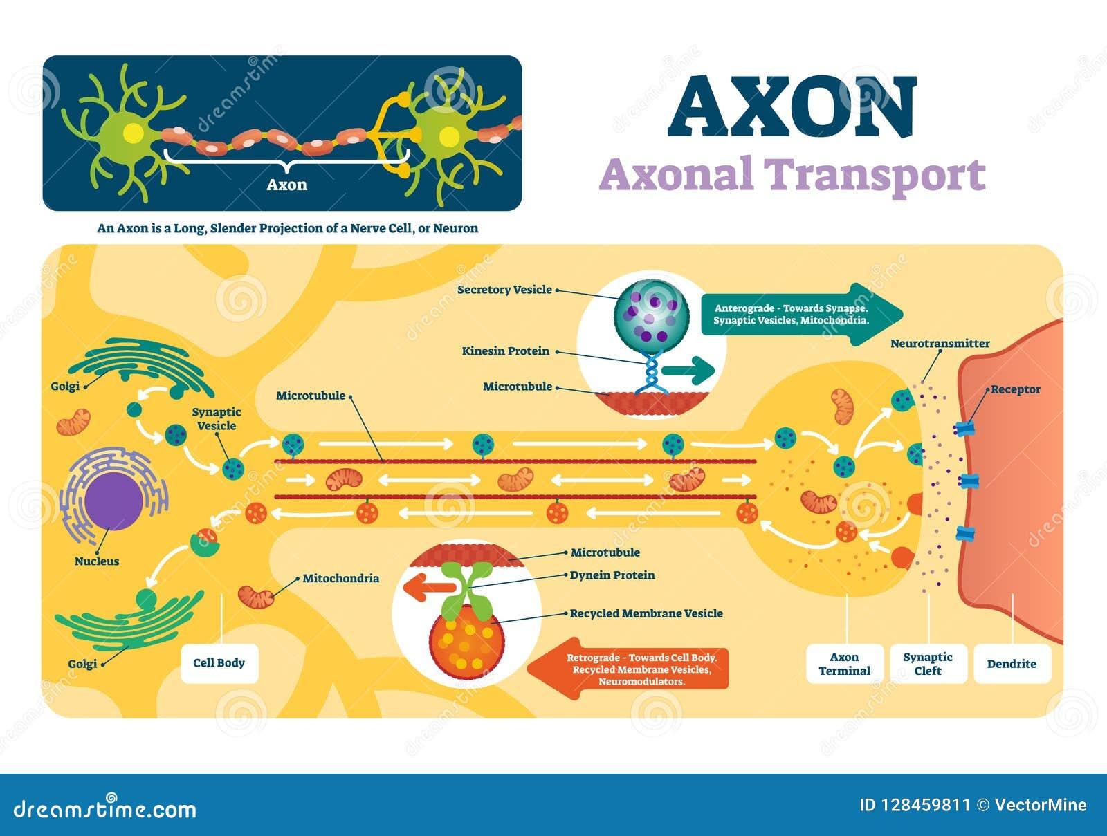 Axon vectorillustratie Geëtiketteerd diagram met verklaring en structuur
