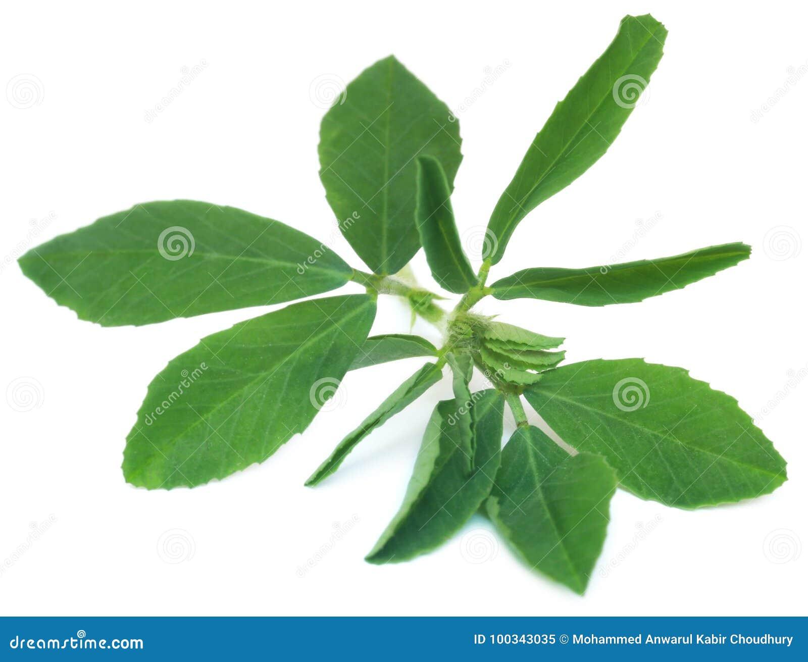 Ayurvedic fenugreek leaves