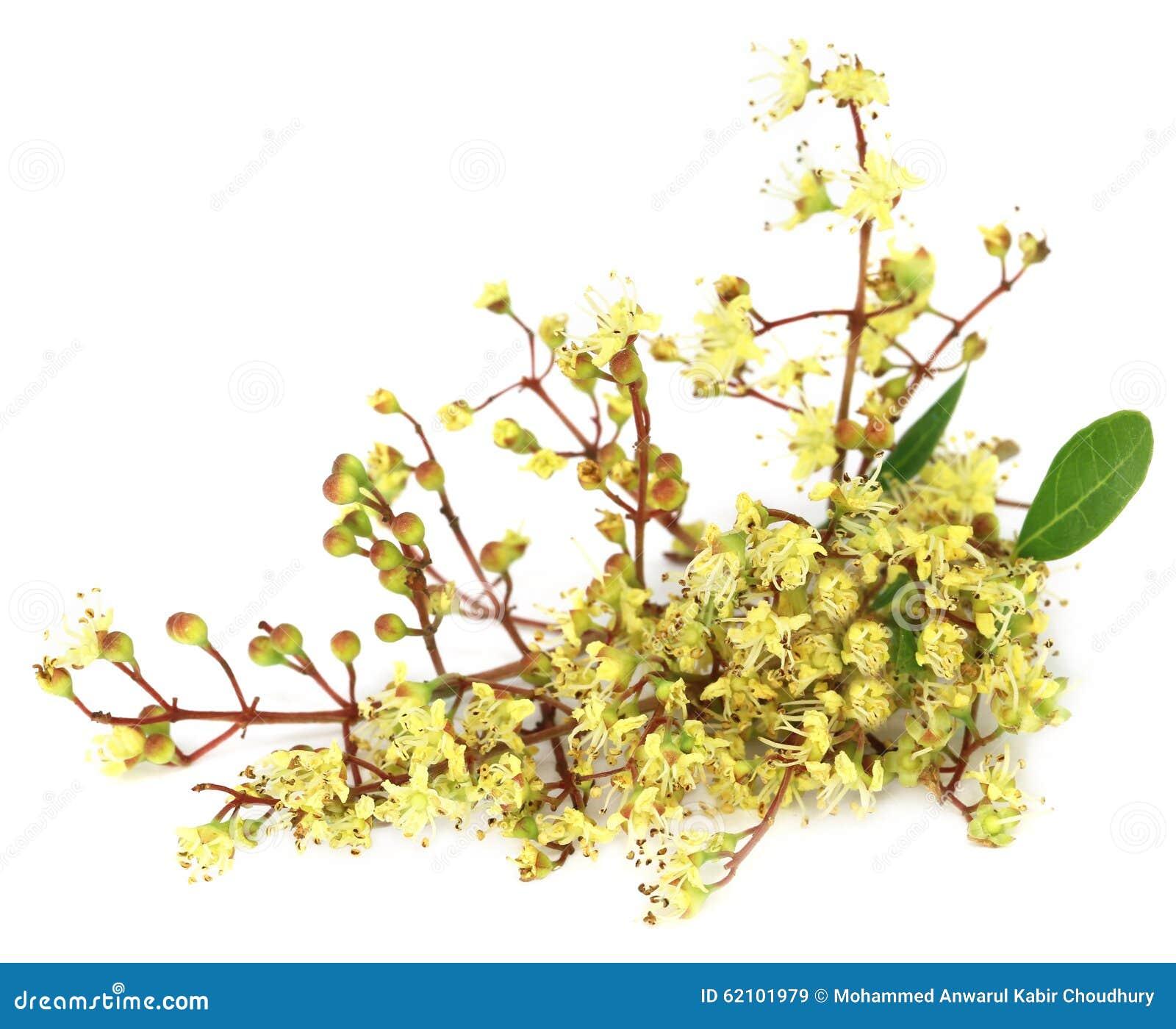 Ayurvedic Henna Flower Stock Image Image Of Nature Leaves 62101979