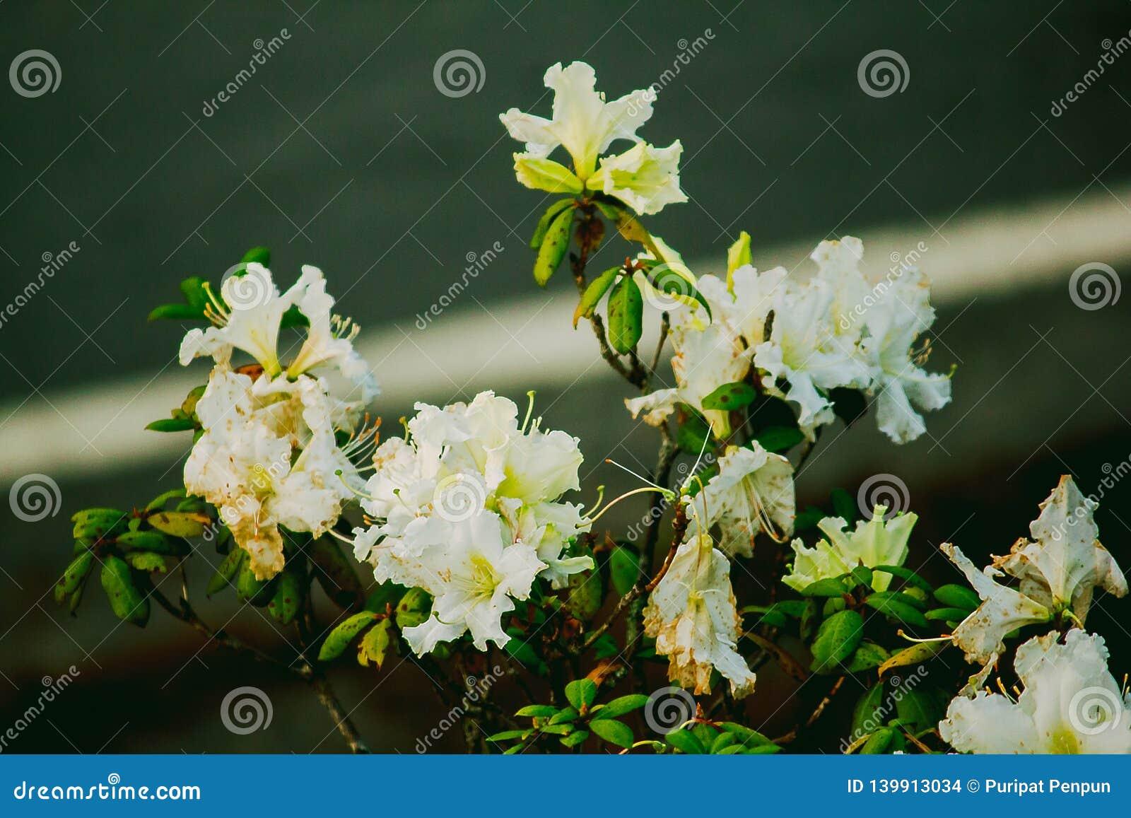 A azálea é o nome de família da planta de florescência no gênero moulmainense do rododendro