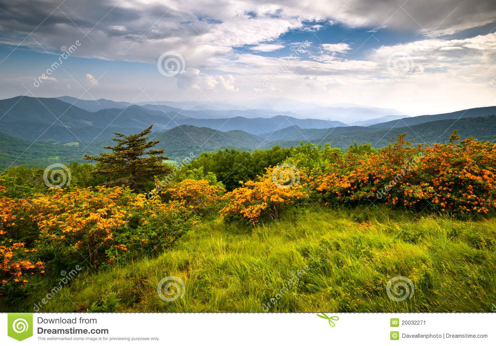 A azálea da flama floresce montanhas de Ridge azul