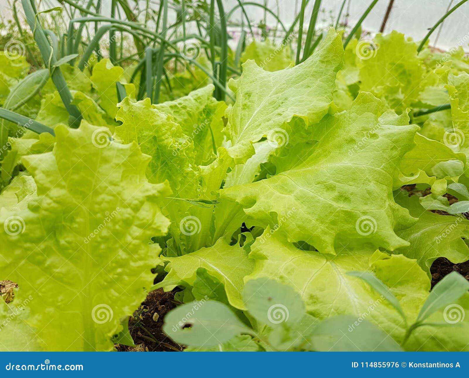Azada del suelo de la tierra de la comida de las hojas de la agricultura de la lechuga
