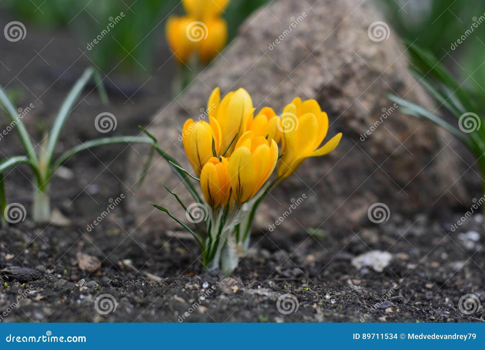 Azafrán amarilla de la flor de la primavera en el jardín en un fondo de  piedra