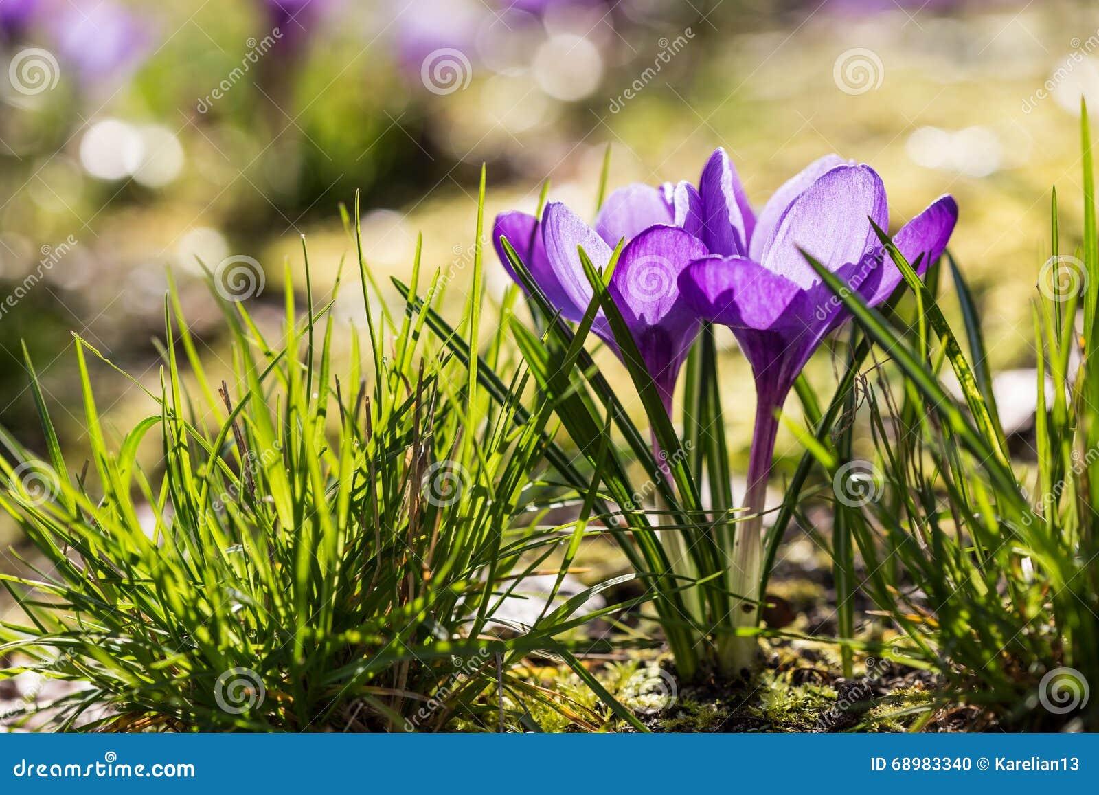 Azafrán púrpura