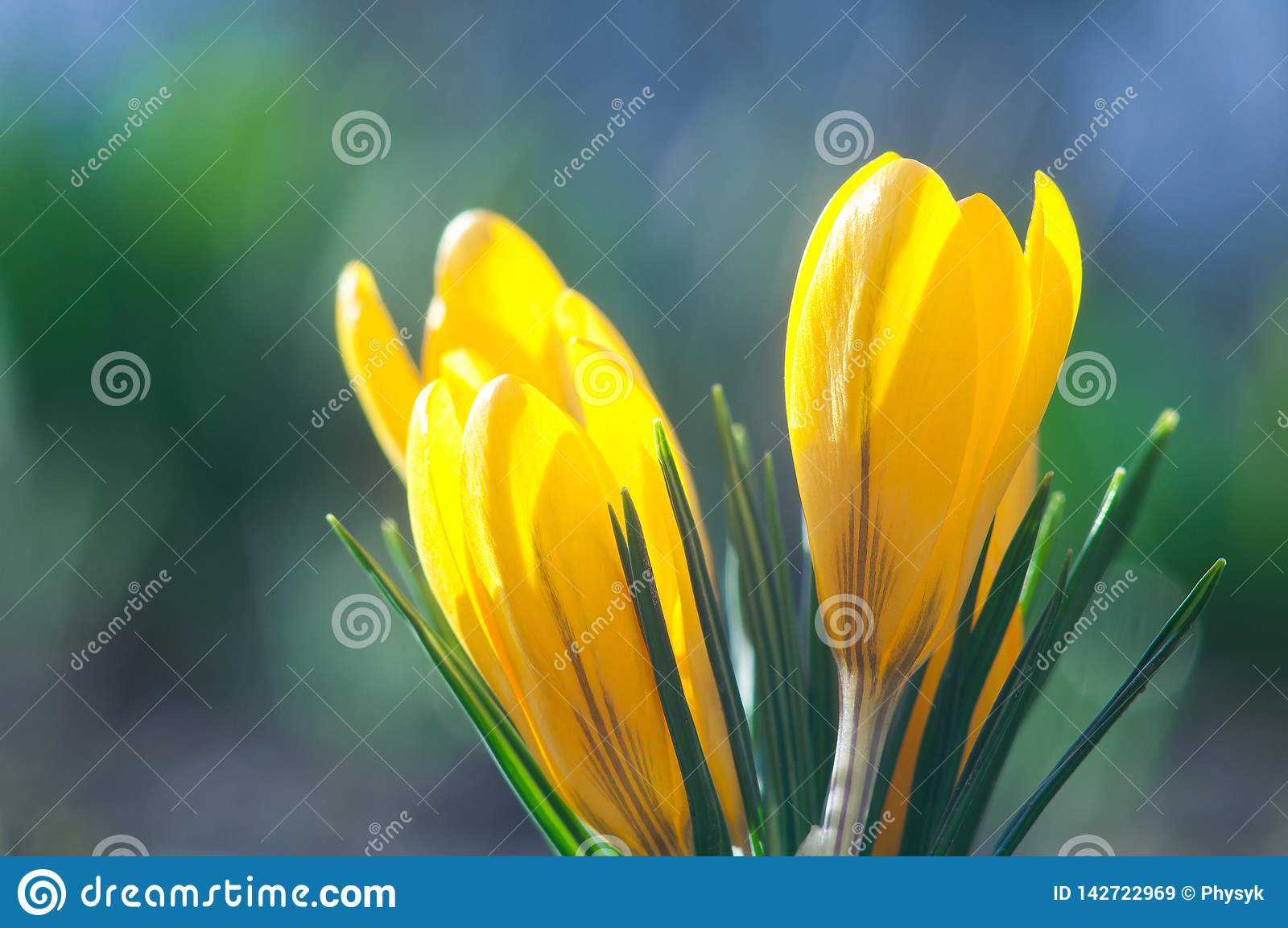 Azafranes amarillas en un cierre azul del fondo para arriba