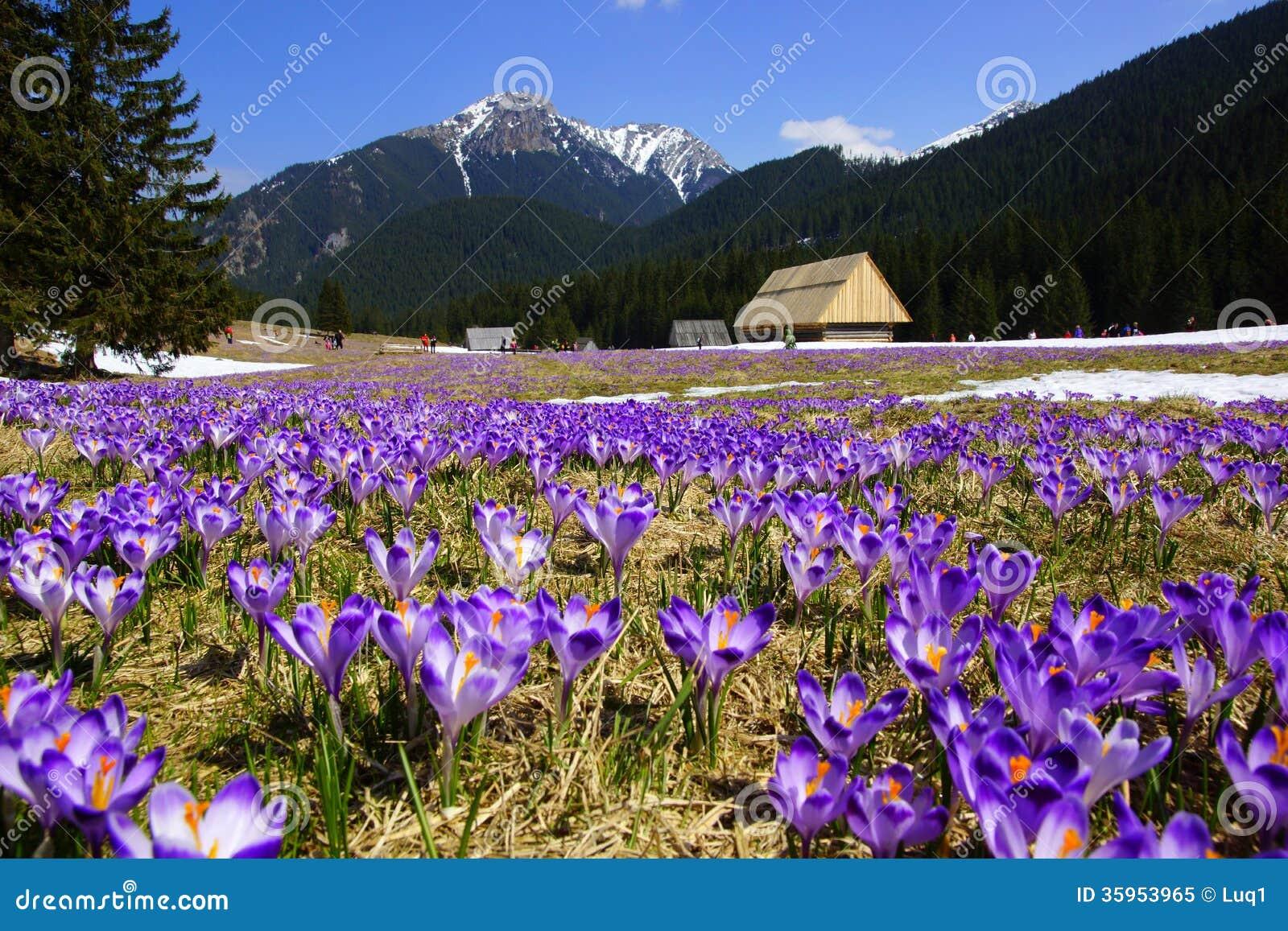 Azafranes en el valle de Chocholowska, montaña de Tatras, Polonia