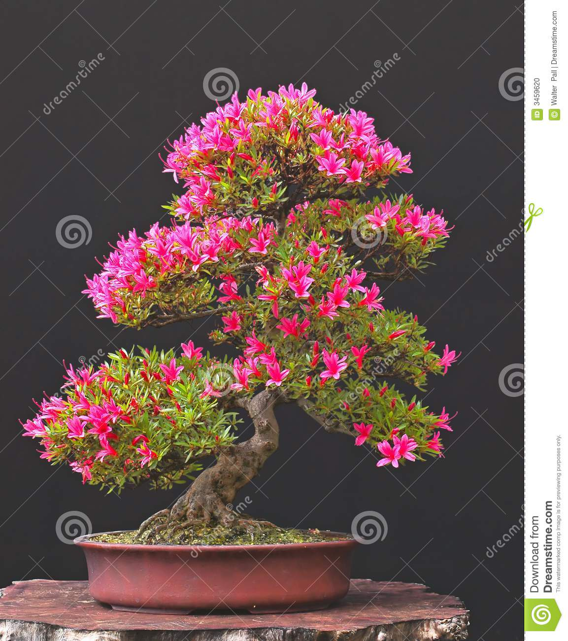 Azalea bonsai in bloom