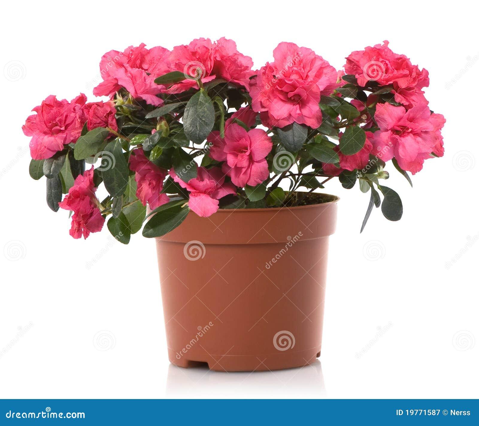Azalea flower pot flowers