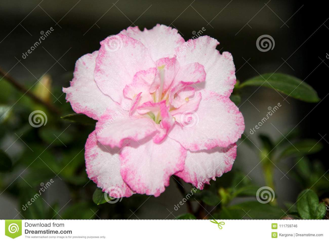 An Azalea Flower With White Petals With Pink Edges Stock Photo