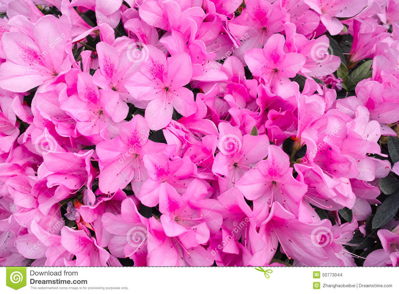 Azalea Flowers Stock Photo Image Of Closeup Close Pink 50773044