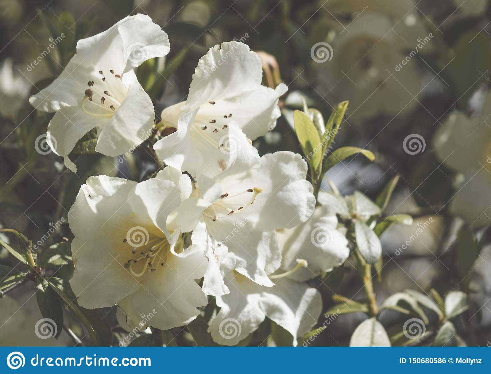 Azalea Flowers blanca