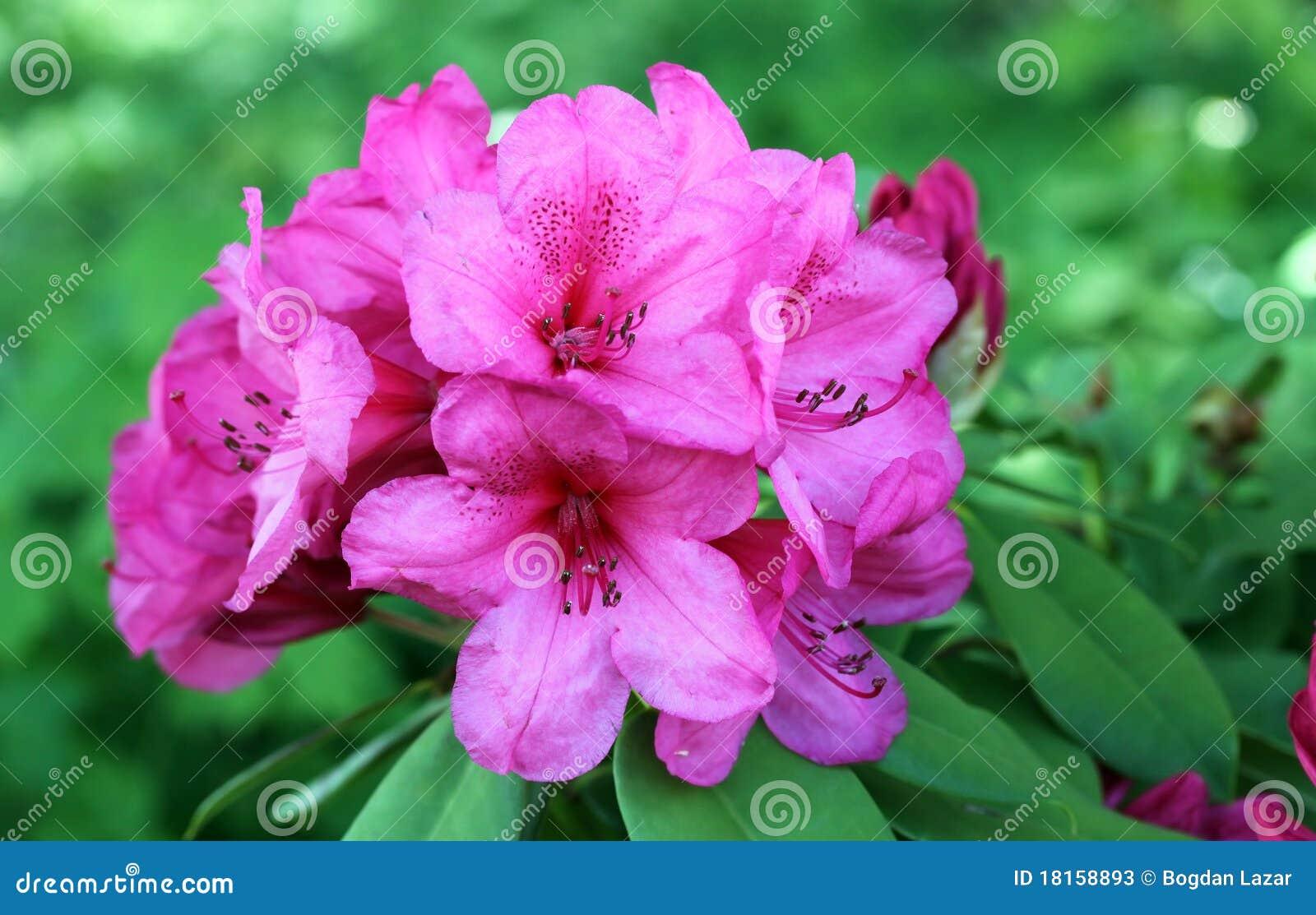Azalea flowers in bloom