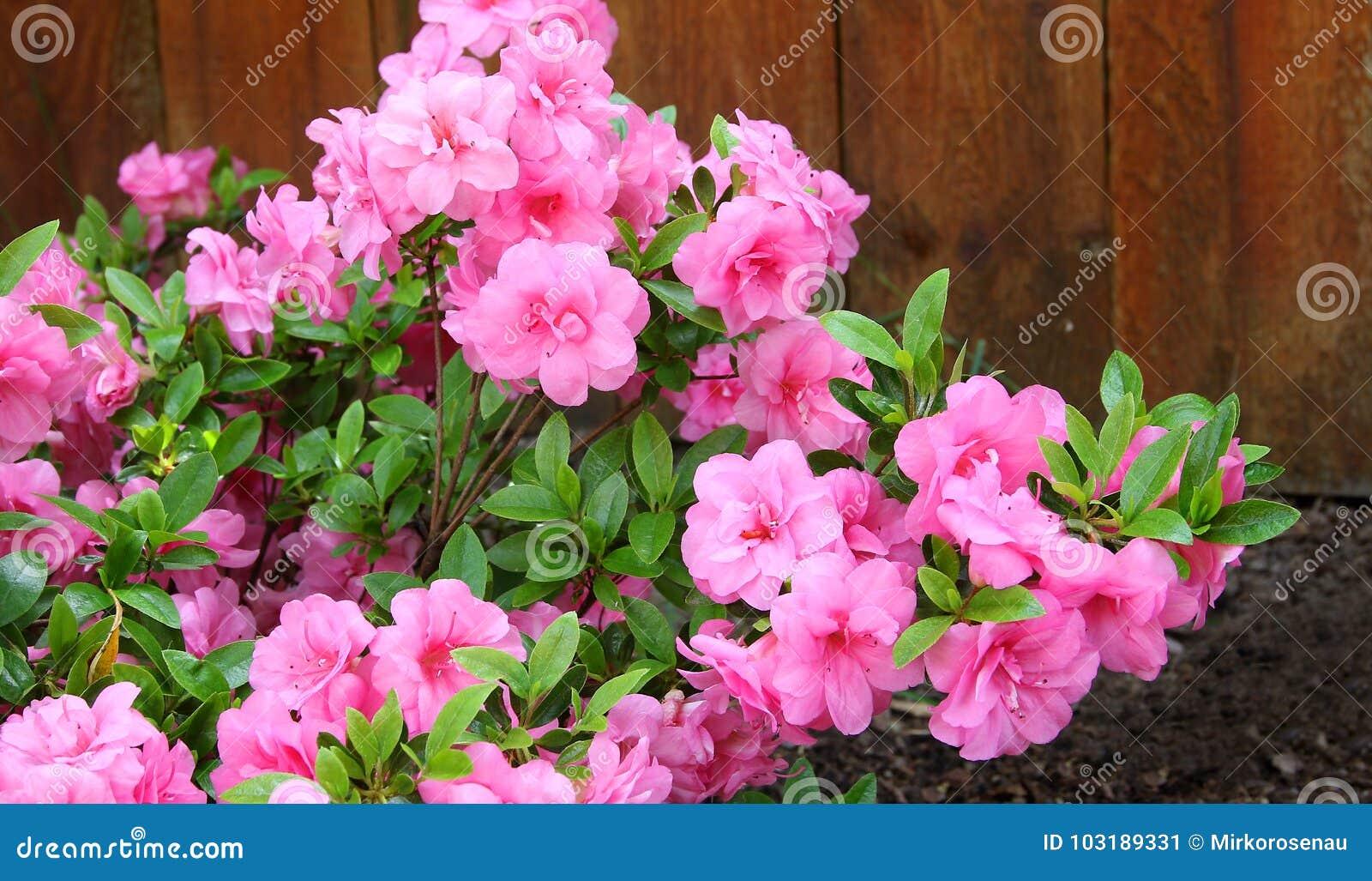 Azalea, membro degli arbusti da fiore del genere rododendro