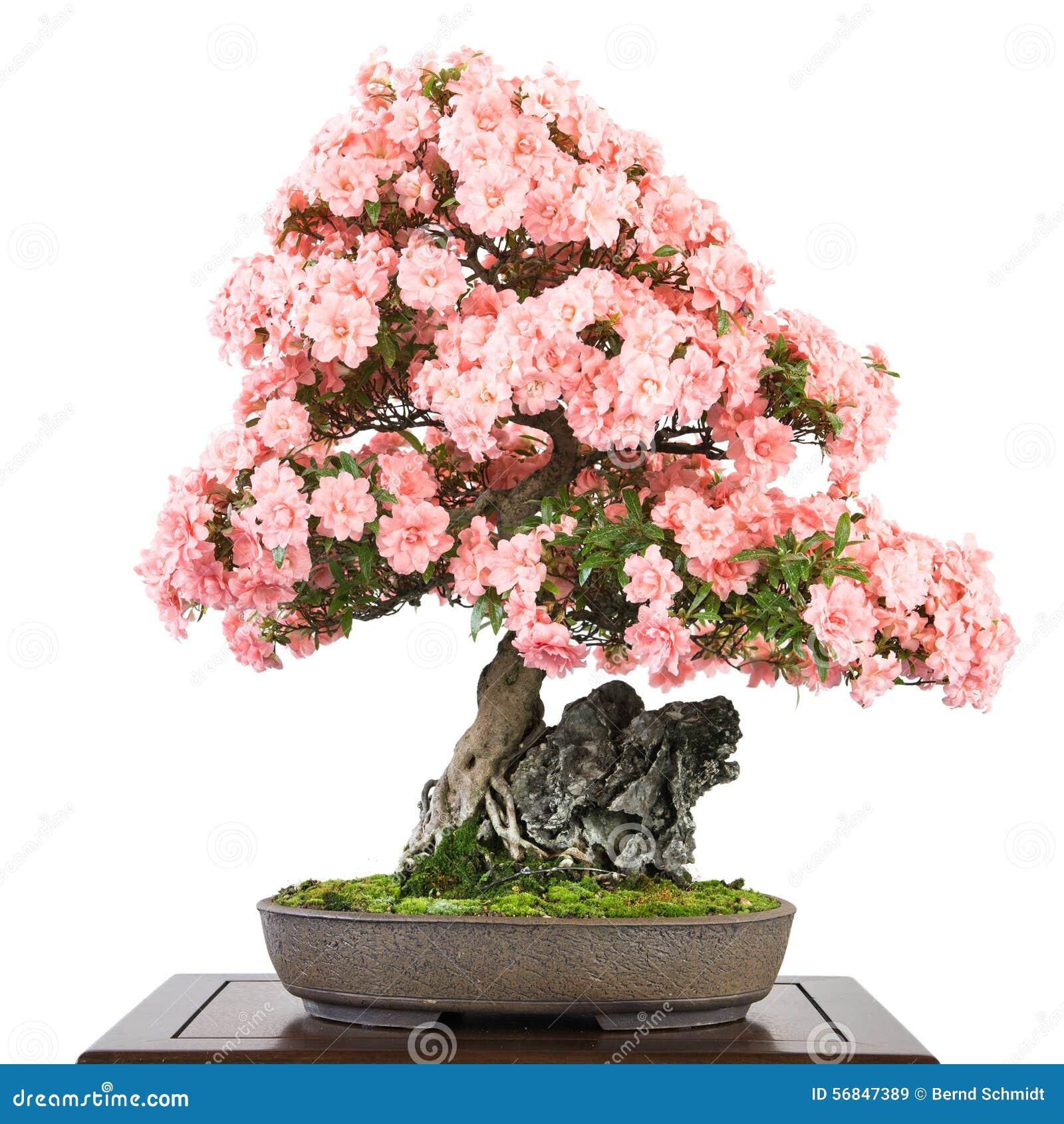 Azalea met roze bloemen als bonsaiboom stock foto - Rododendro arbol ...