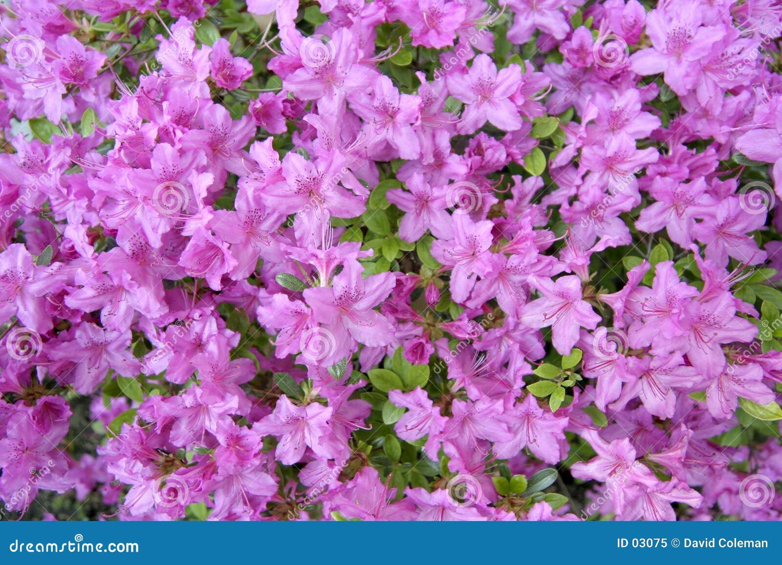 Azalea púrpura