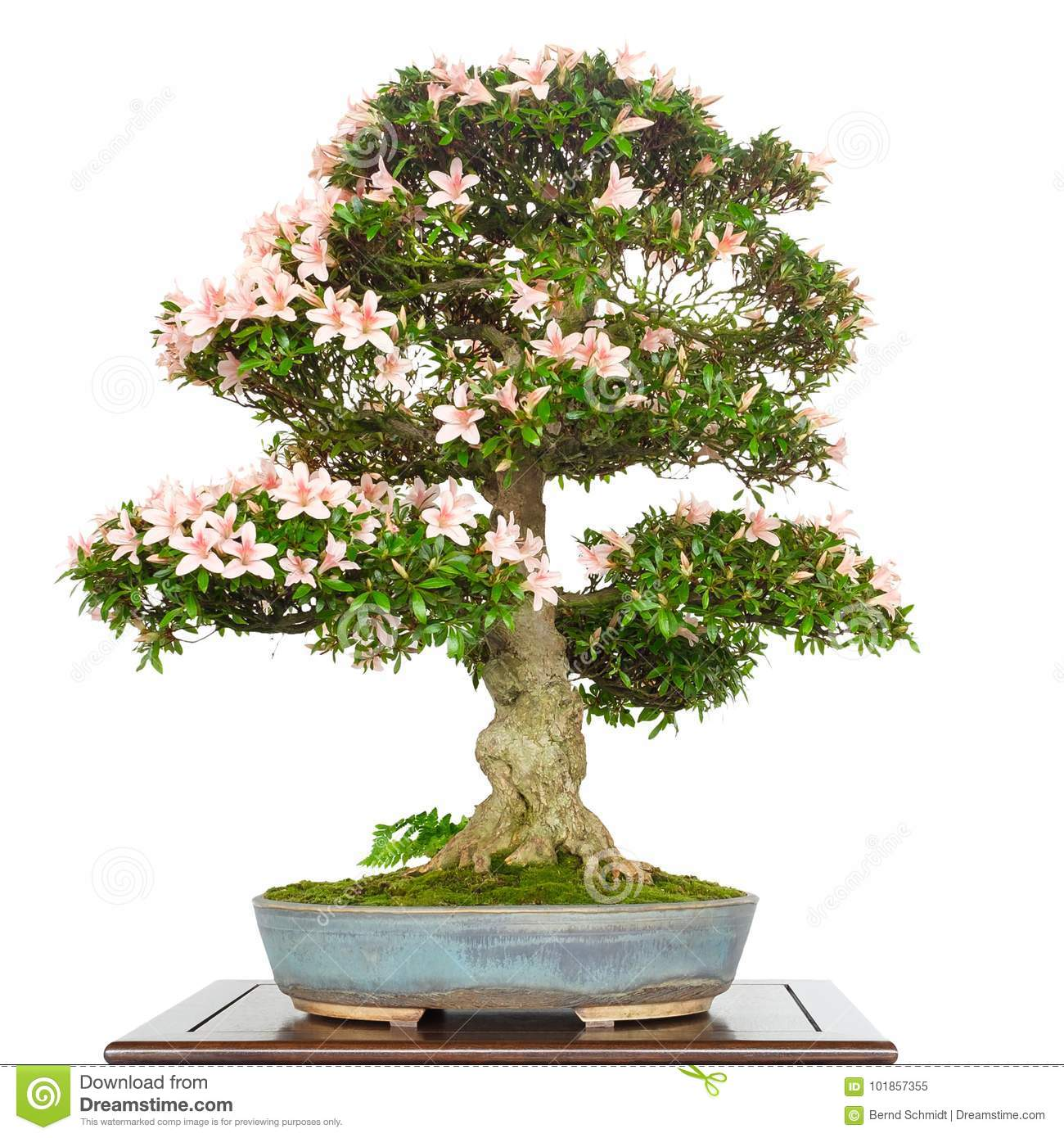 Azalea Rhododendron As Bonsai Tree With Pink Flowers Stock Image