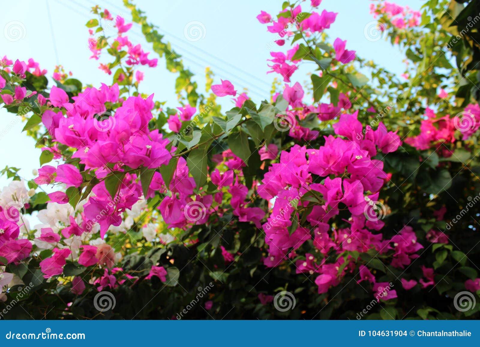 Download Azalea in rode purple stock foto. Afbeelding bestaande uit decoratief - 104631904