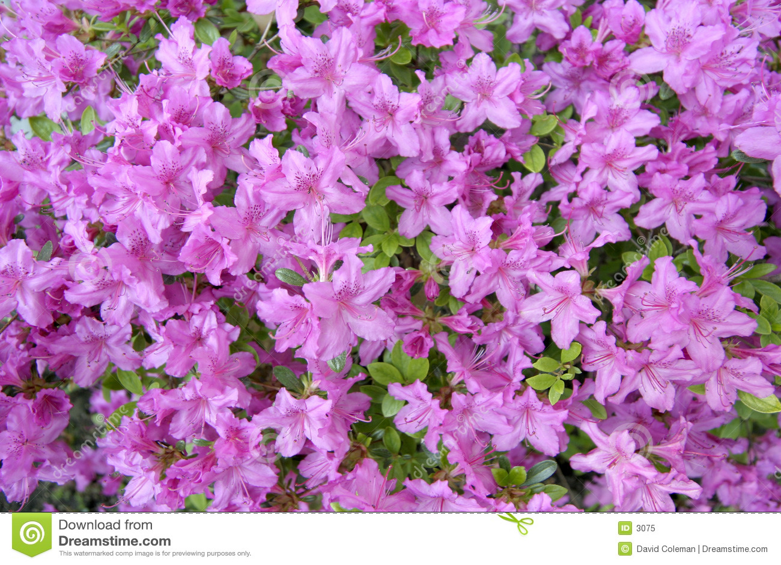 Azalea viola