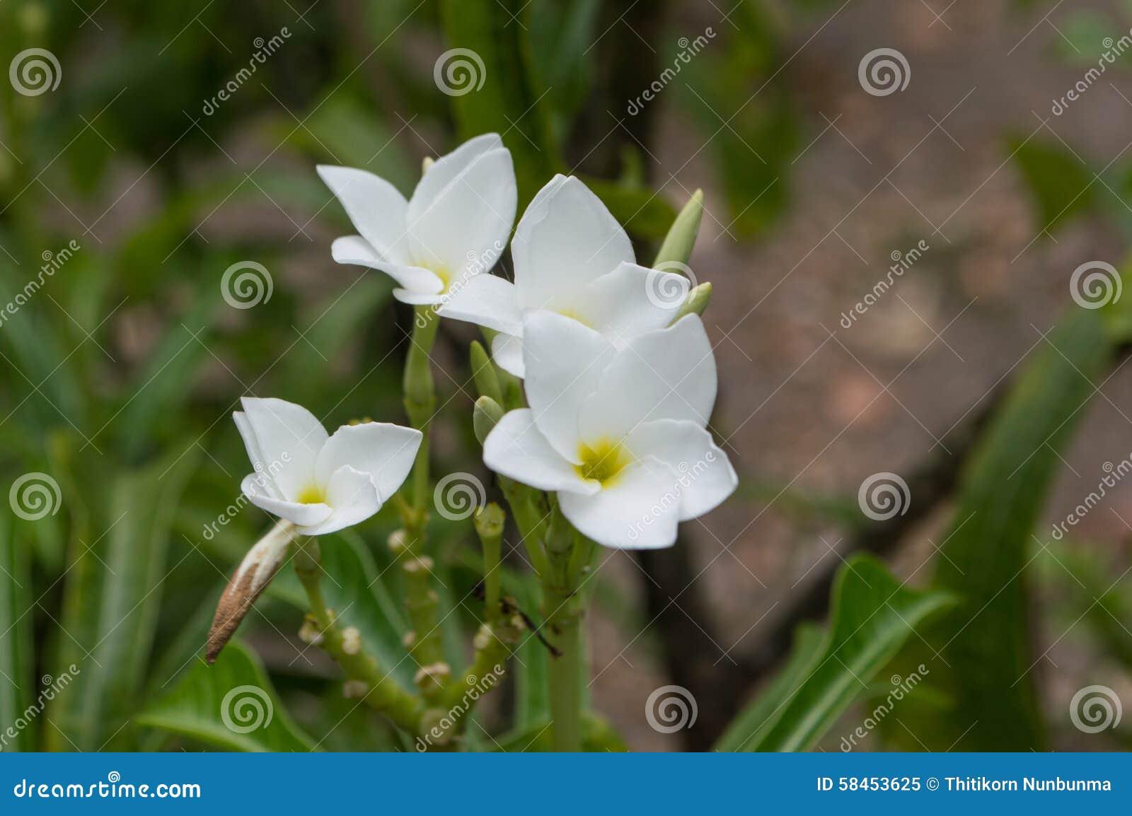 Azalea White Flowers Stock Image Image Of Asian Flowers 58453625