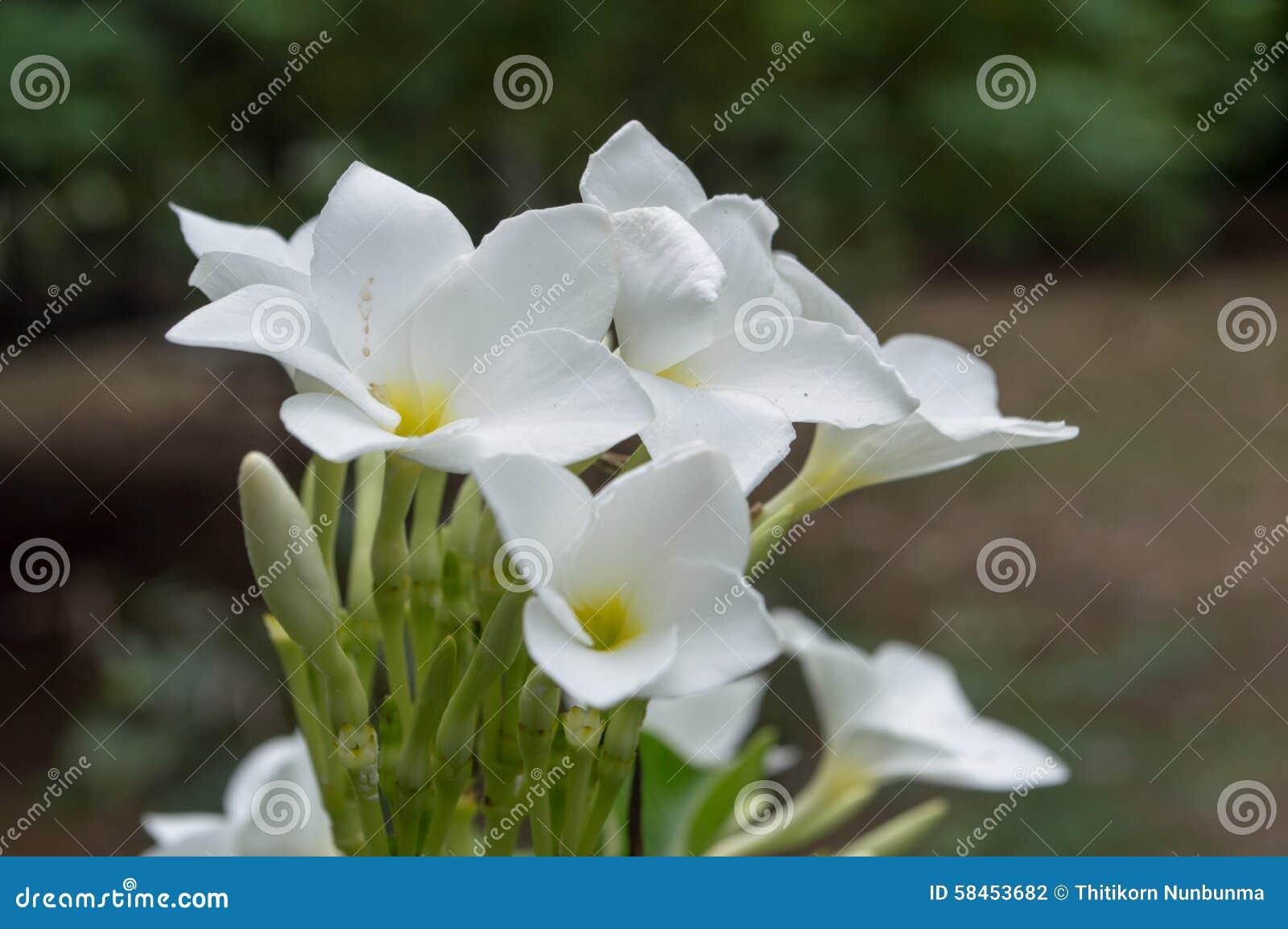 Azalea white flowers stock photo image of bloom aroma 58453682 azalea flower white middle yellow green leaves mightylinksfo
