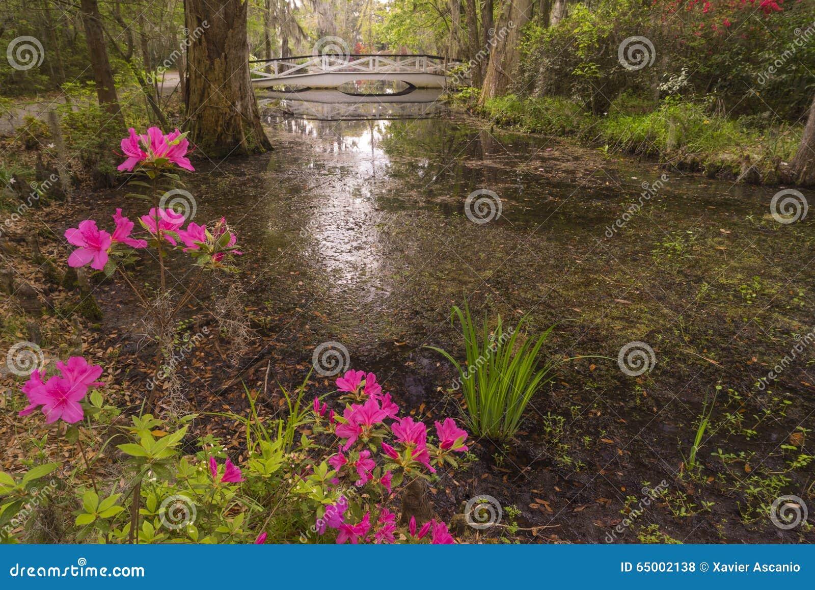 Azaleas Blooming In The Plantation Garden, Near Charleston, SC Stock ...