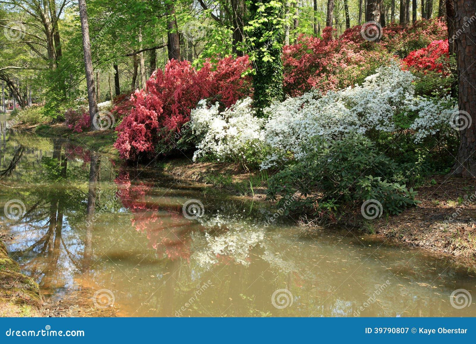 Azaleas at callaway gardens stock image image 39790807 - Callaway gardens pine mountain georgia ...