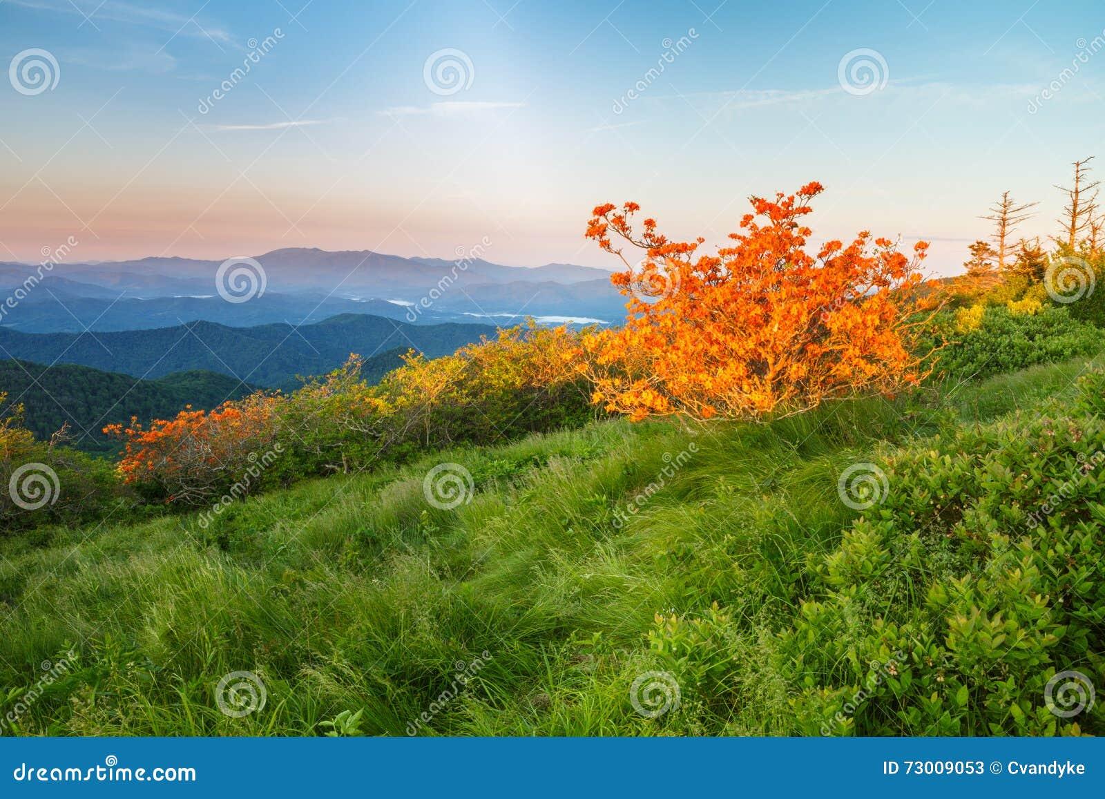 Azaleas de la llama, rododendro Calendulaceum, Roan Mountain NC