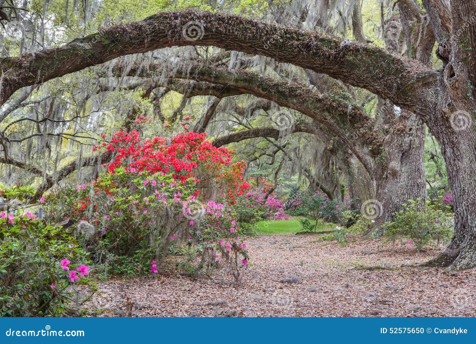 Azaleas Under Arched Live Oak Tree Sc Stock Photo Image