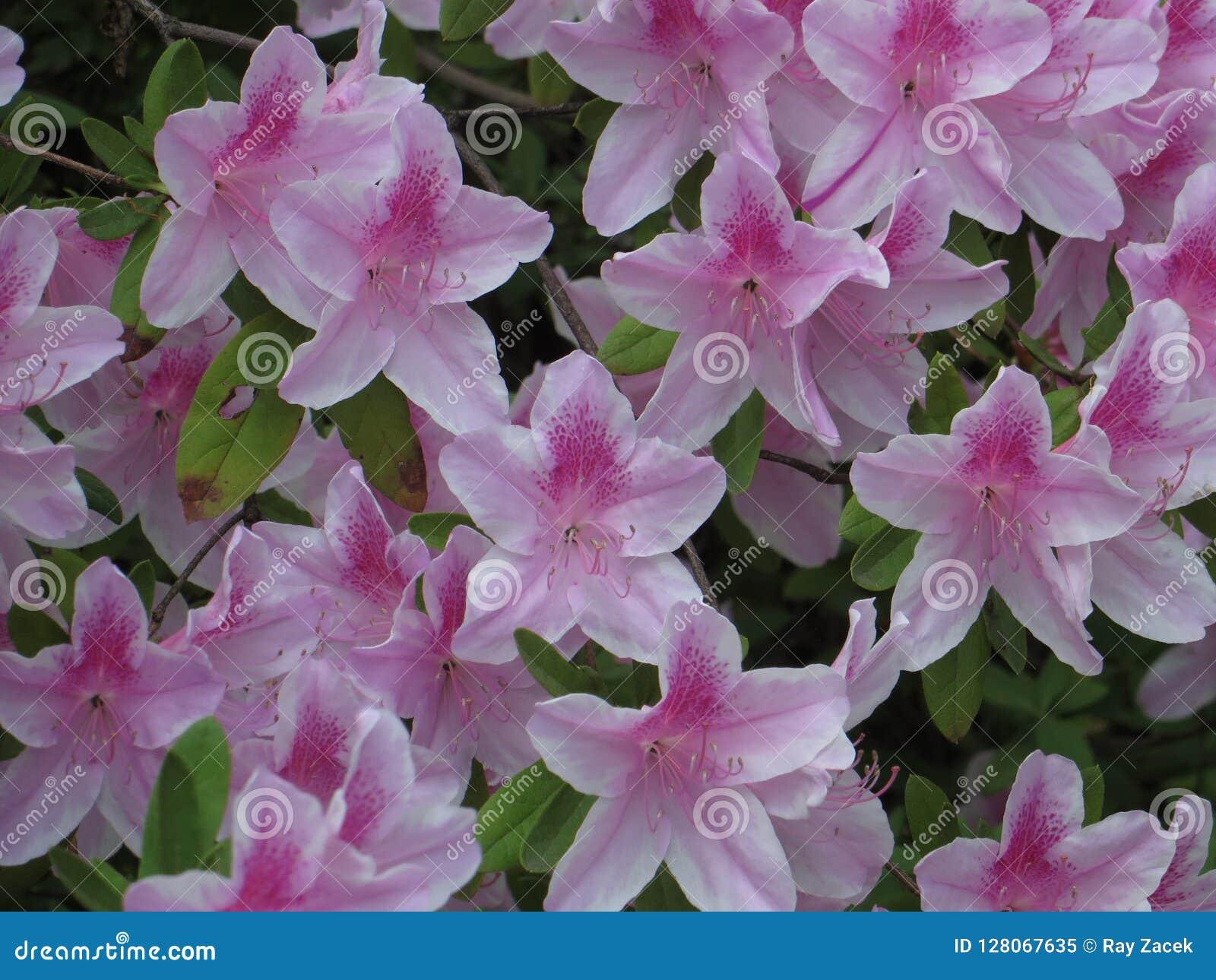 Azaleen in der Blüte