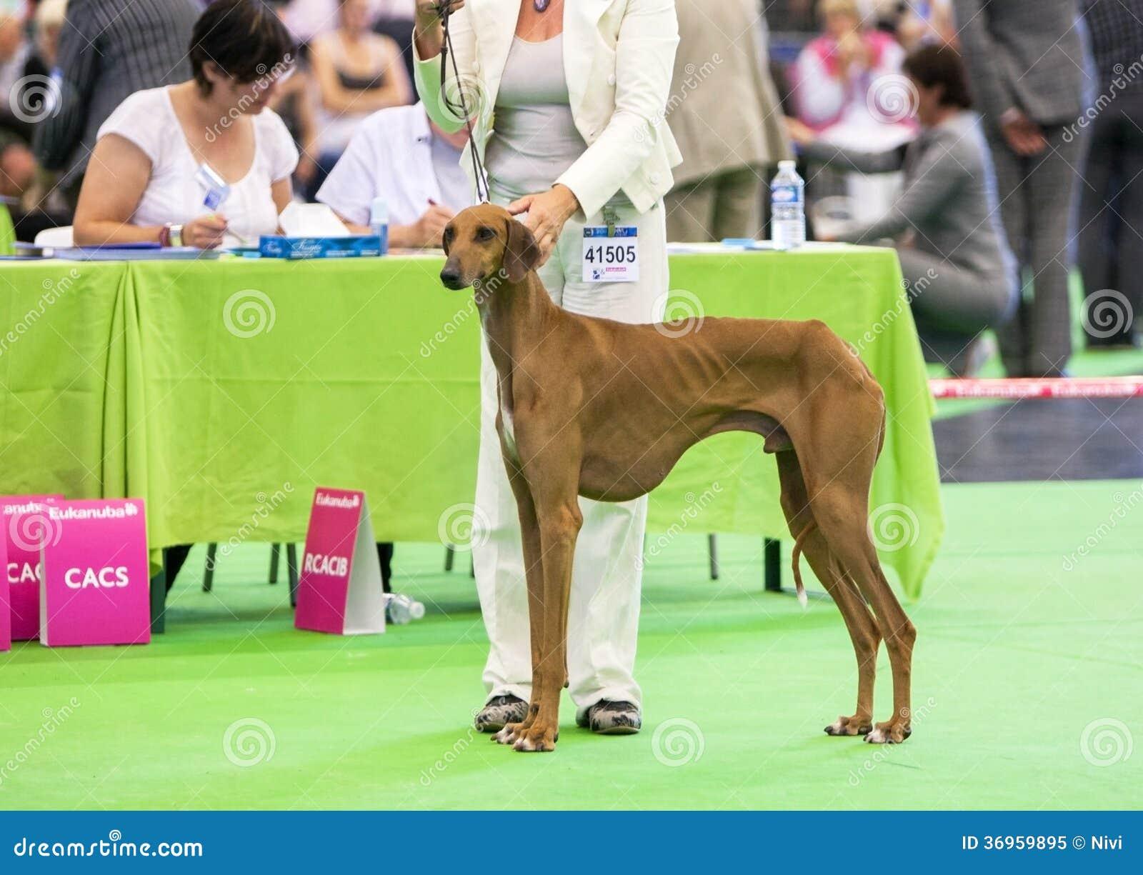 Azawakh Hound at dog show.