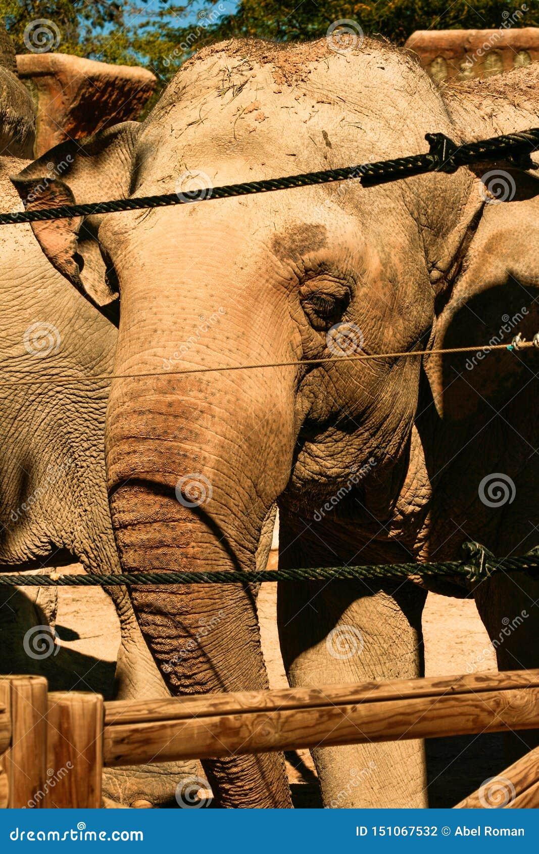 Aziatische olifant achter een veiligheidsomheining