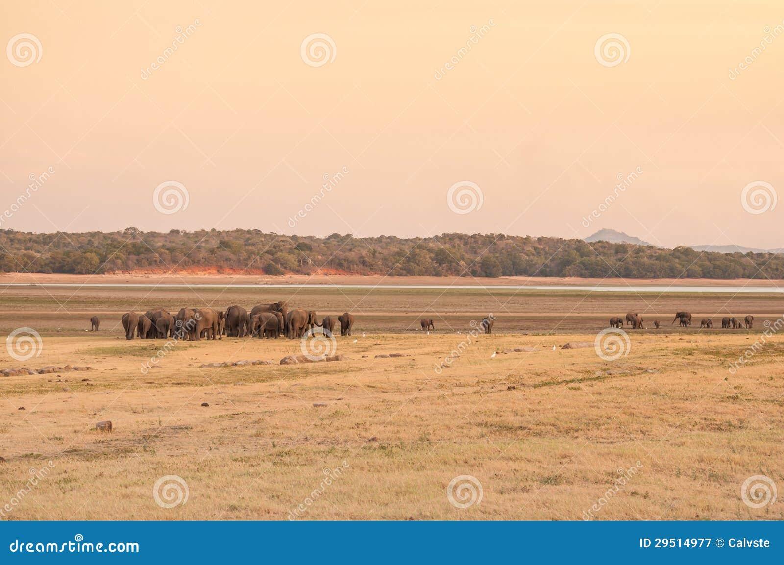 Aziatische olifanten die naar water op weg zijn
