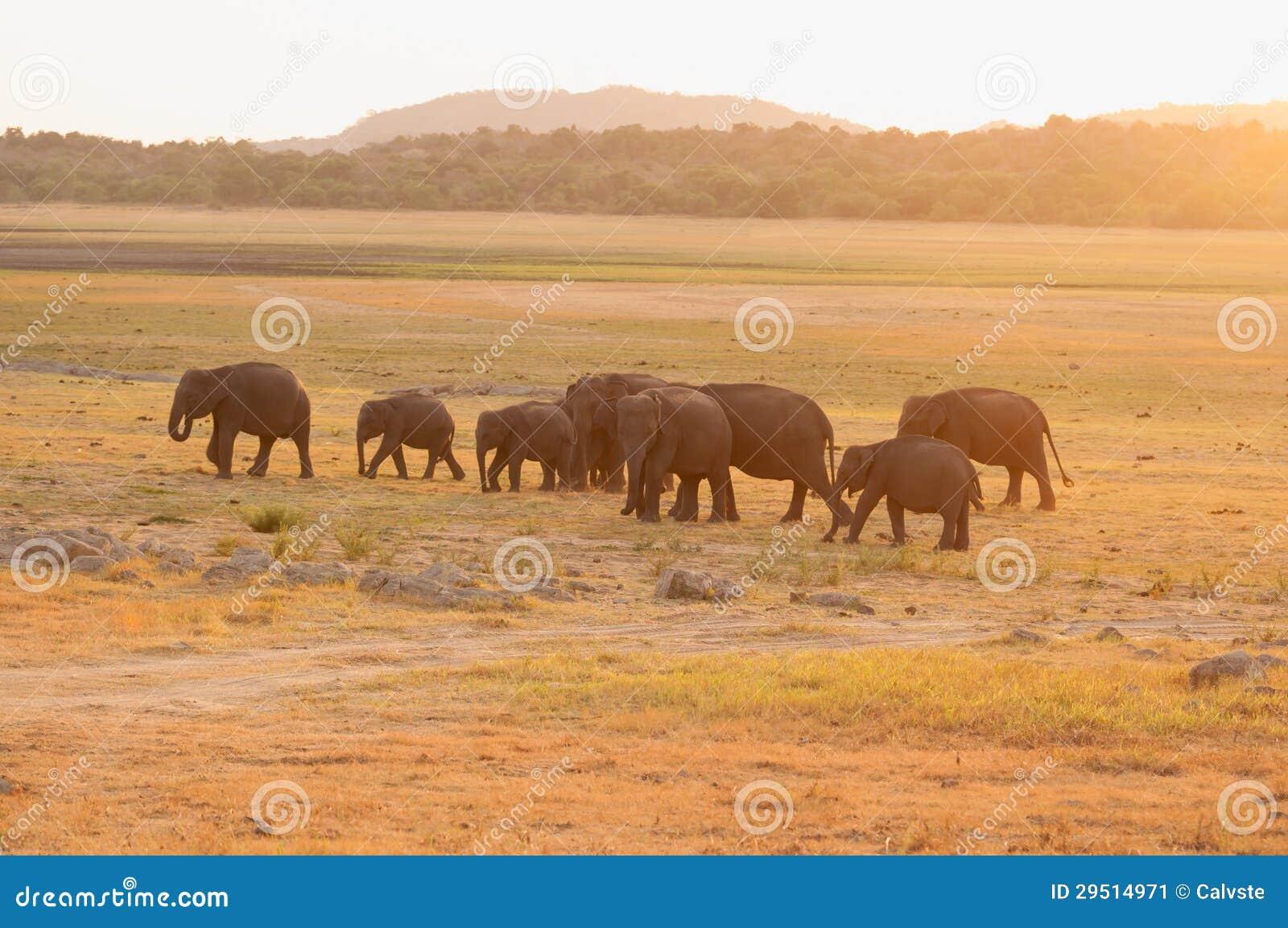 Aziatische olifanten die tijdens zonsondergang weiden