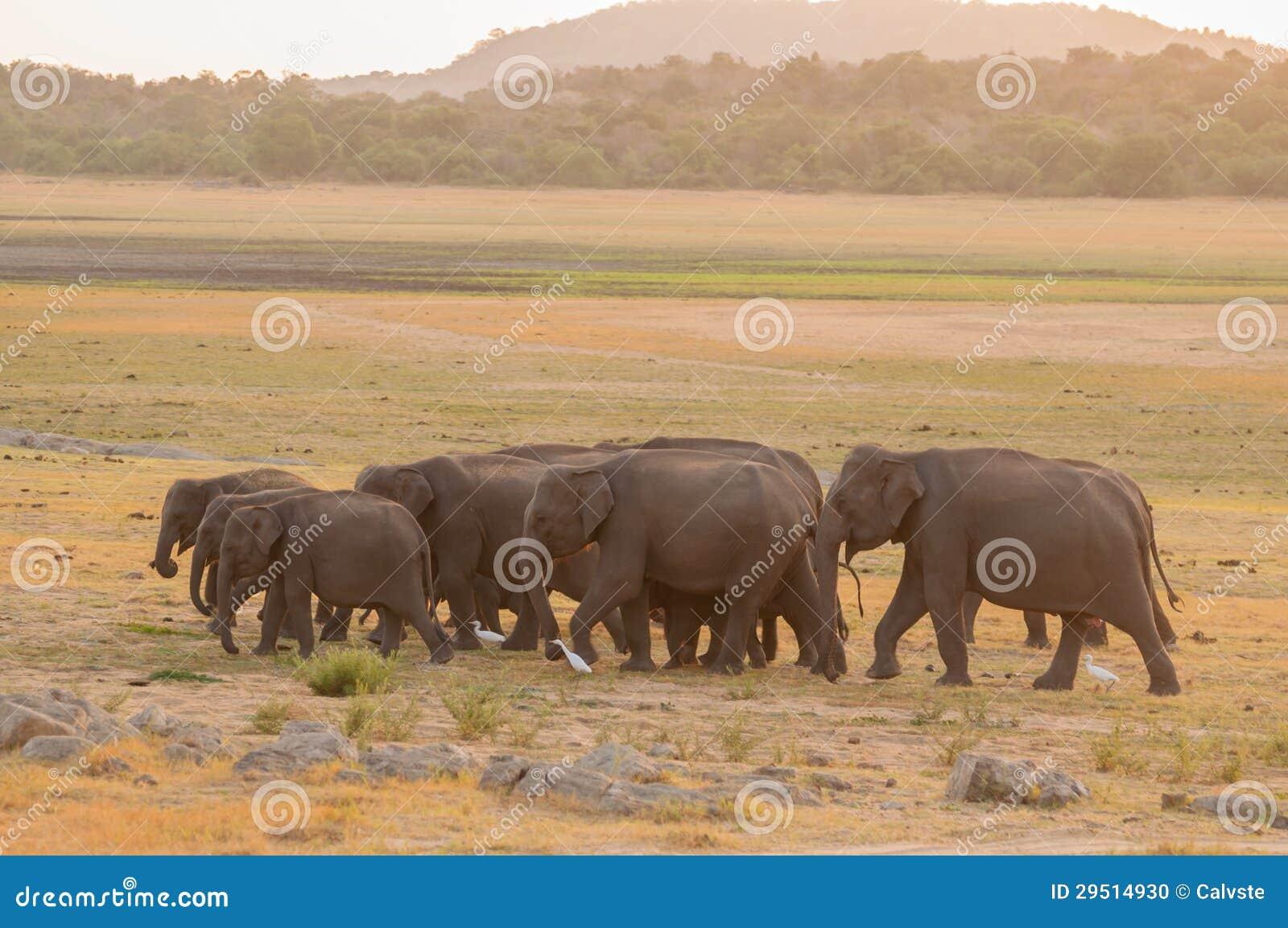 Aziatische olifanten en witte aigrettes tijdens zonsondergang