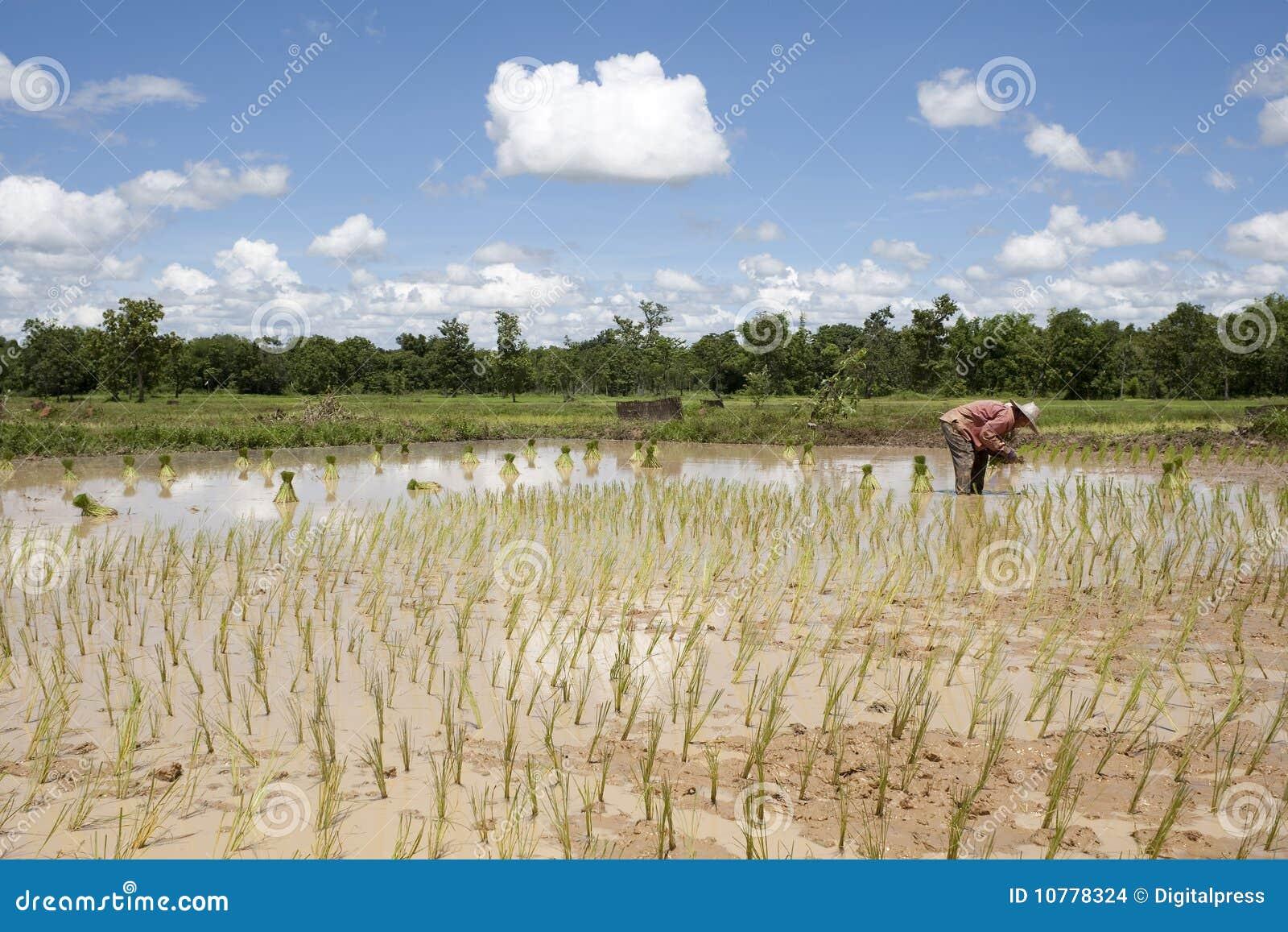 Aziatische vrouw in het padieveld, Thailand