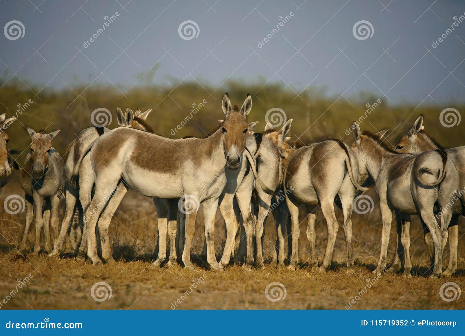 Aziatische Wilde Ezel, Equus-hemionus khur, Weinig Rann van Kutch, Gujarat