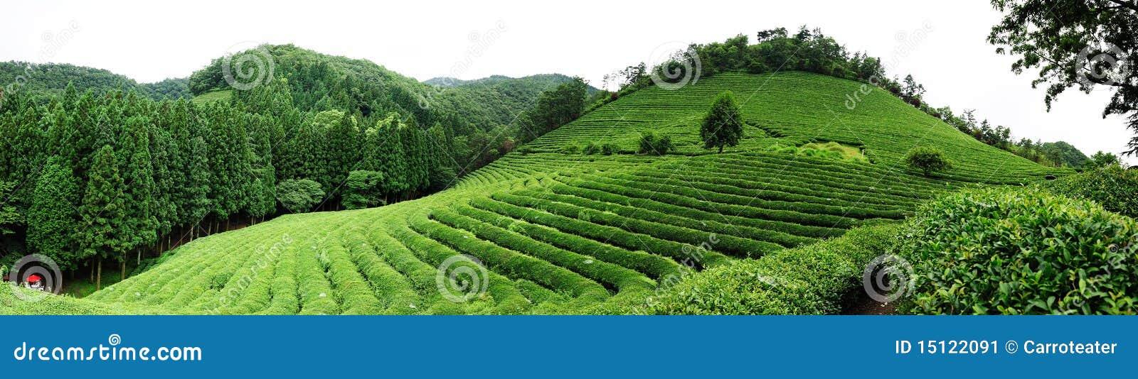 Azienda agricola del tè
