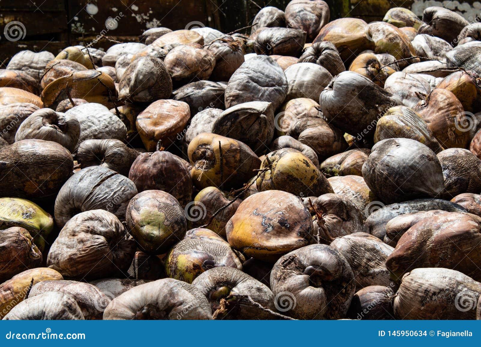 Azienda agricola della noce di cocco nella Repubblica dominicana: montagna delle noci di cocco