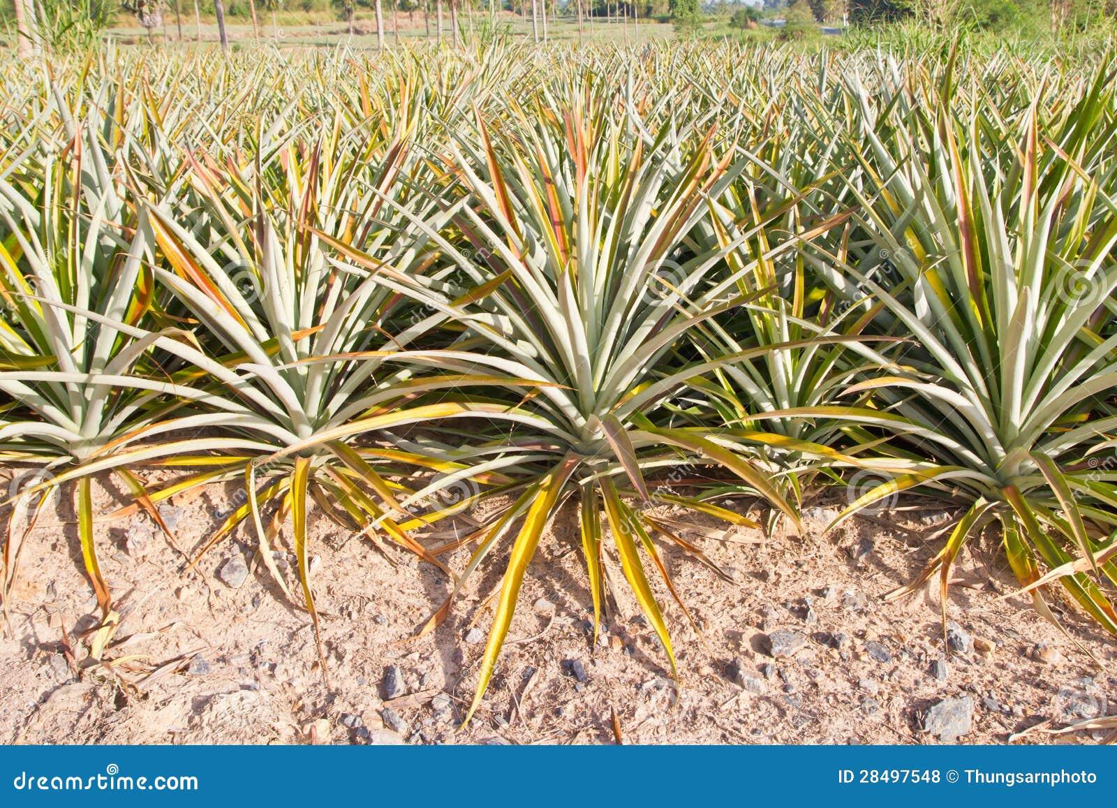 Azienda agricola della pianta di ananas fotografia stock - Pianta ananas ...
