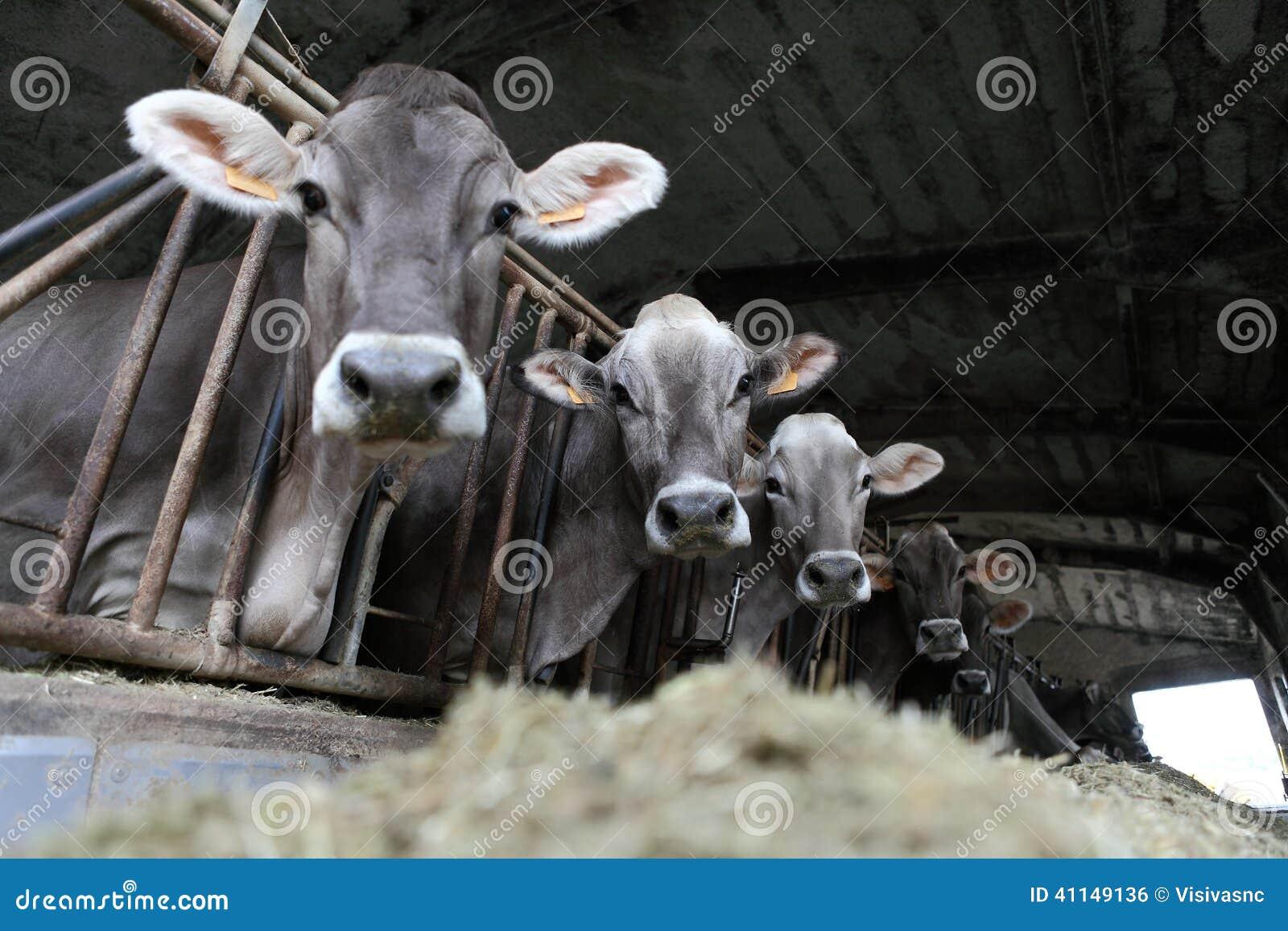 Azienda agricola delle mucche