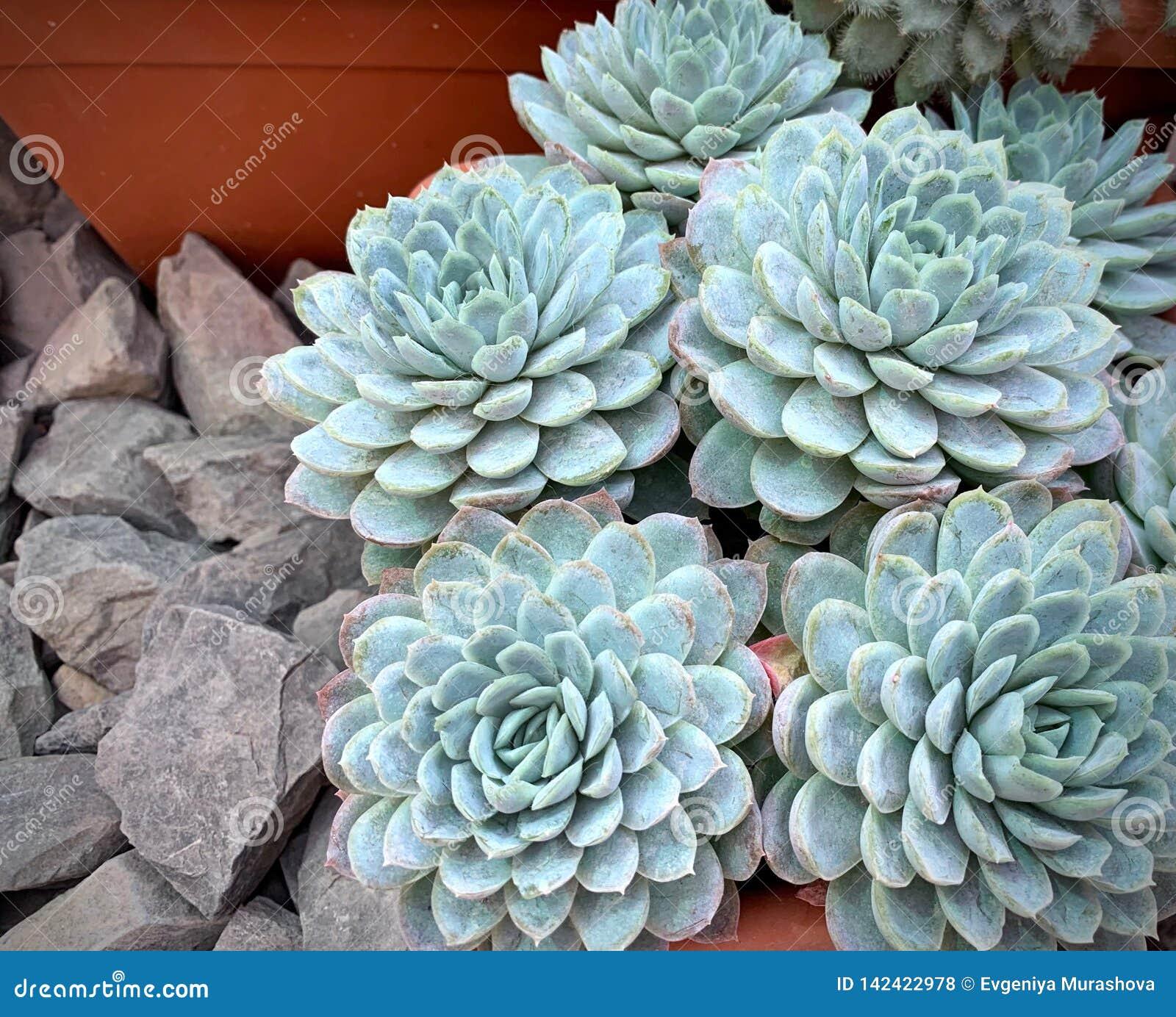 Aziende agricole dell erica del cactus, succulenti blu