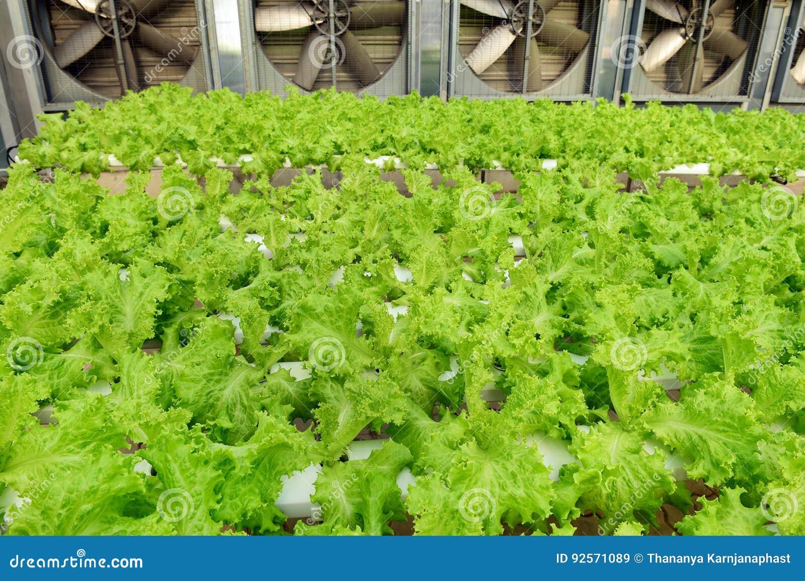 Aziende agricole di verdure organiche crescenti