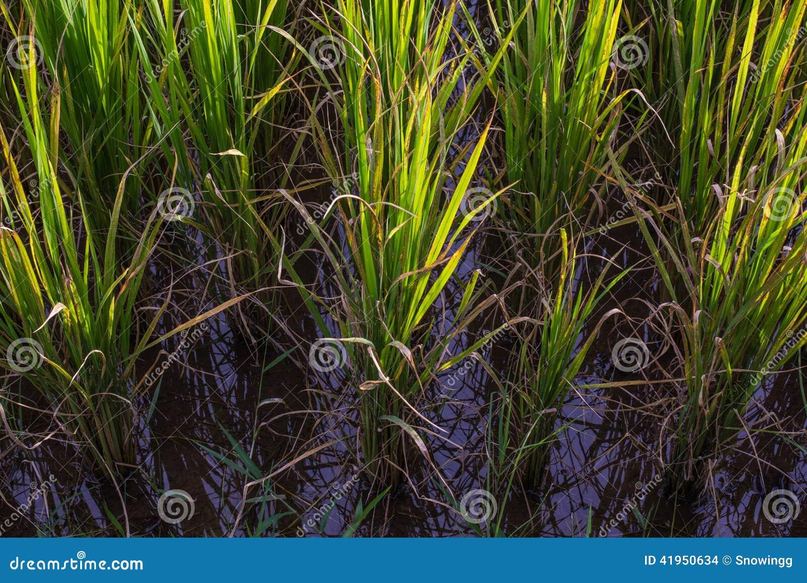 Azjata krajobraz z ricefield