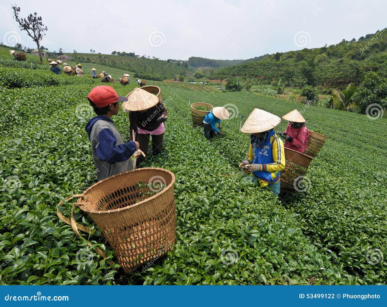 Azjatyccy pracownicy zbiera herbaty