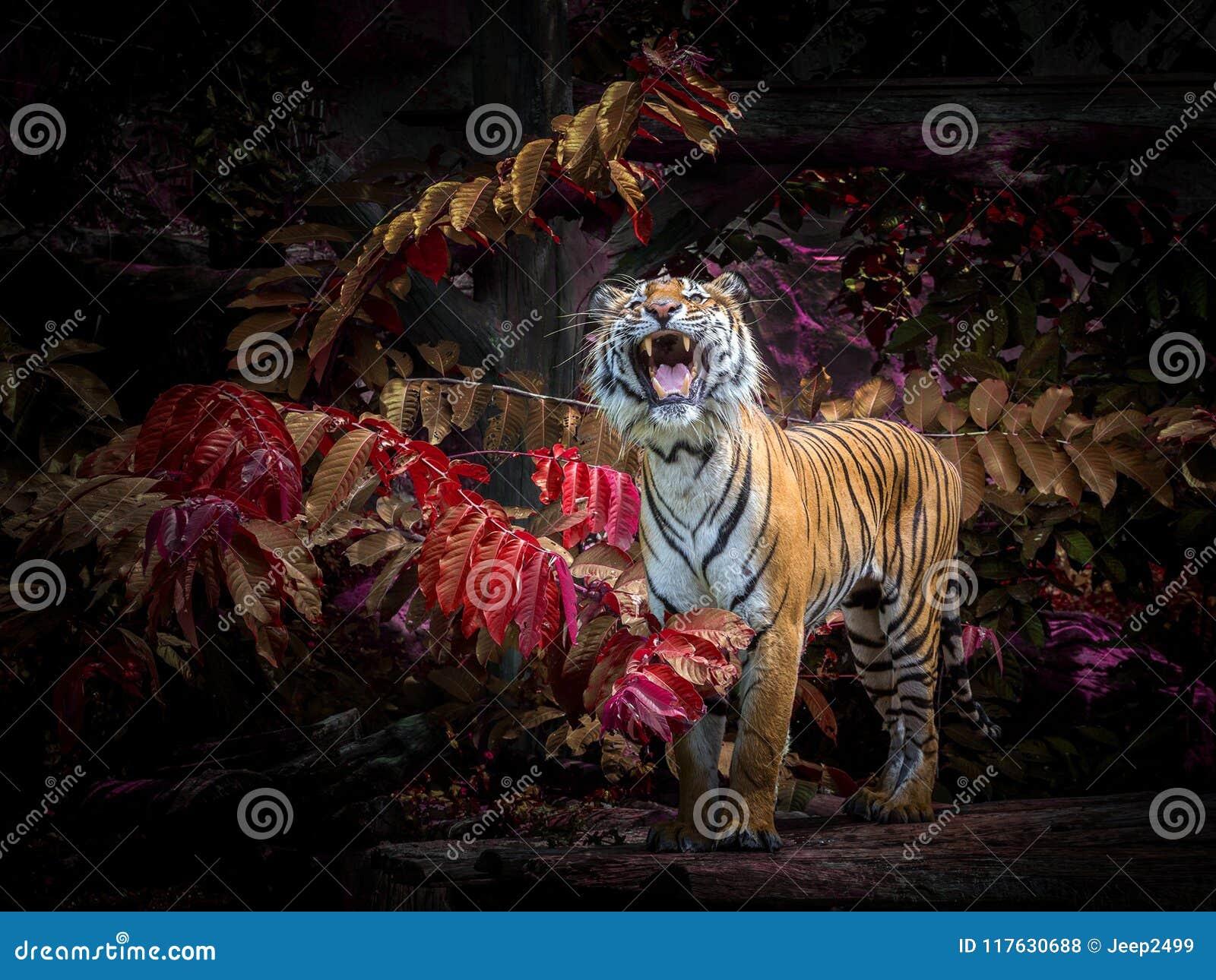 Azjatyccy tygrysy oglądają zdobycza w naturalnym
