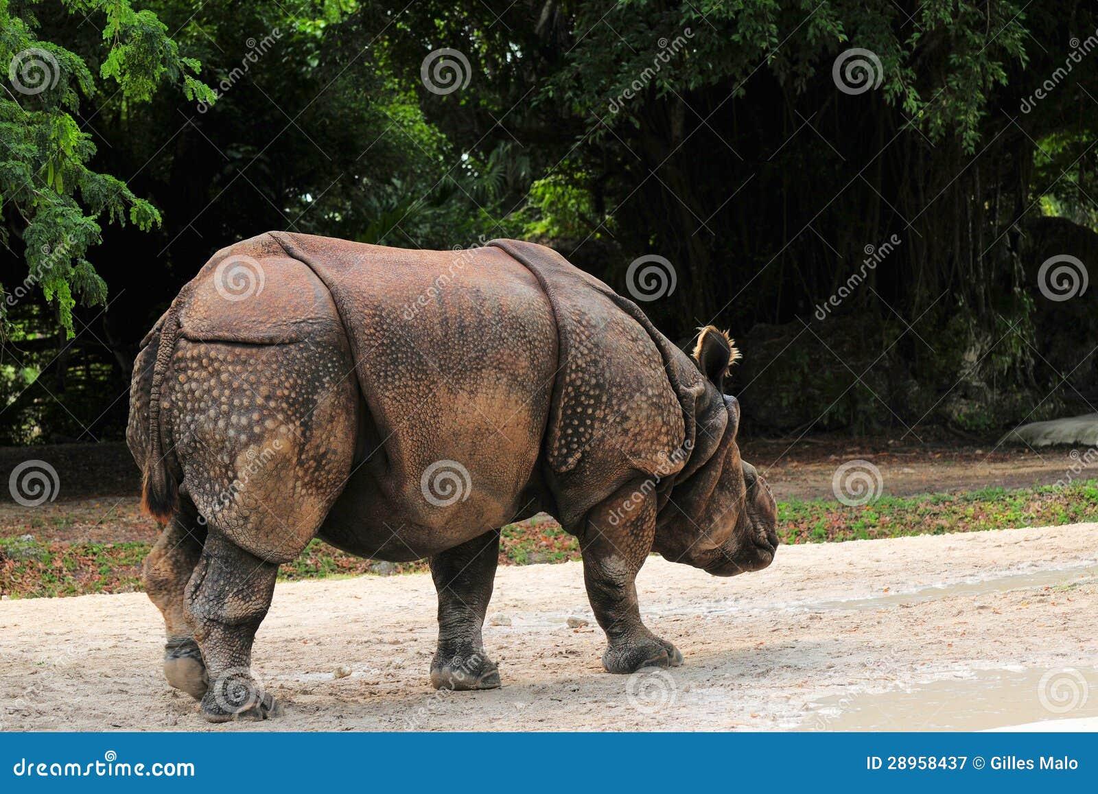 Azjatycki nosorożec chodzić